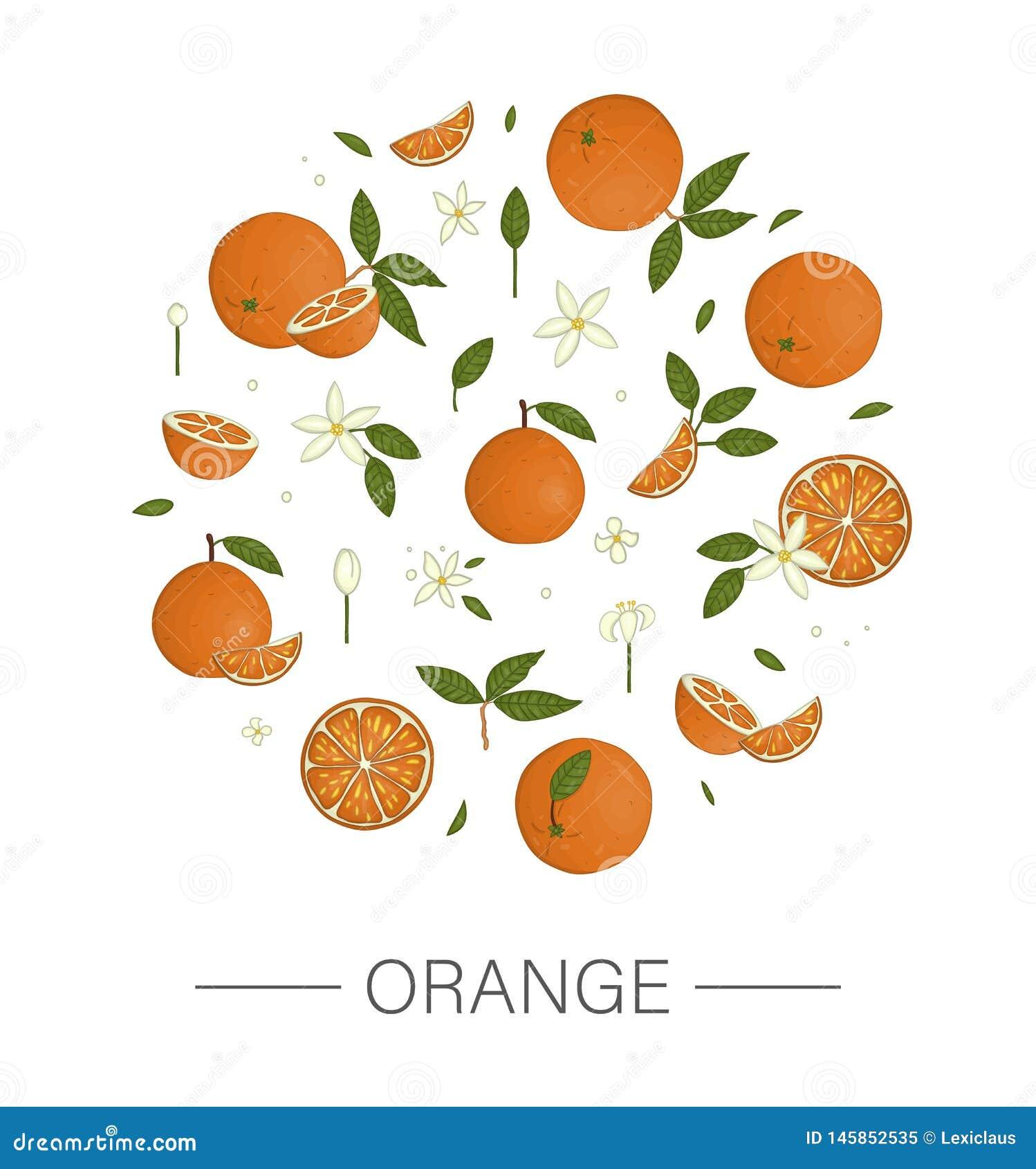 Vektorn färgade uppsättningen av apelsiner som inramades i cirkeln som isolerades på vit bakgrund