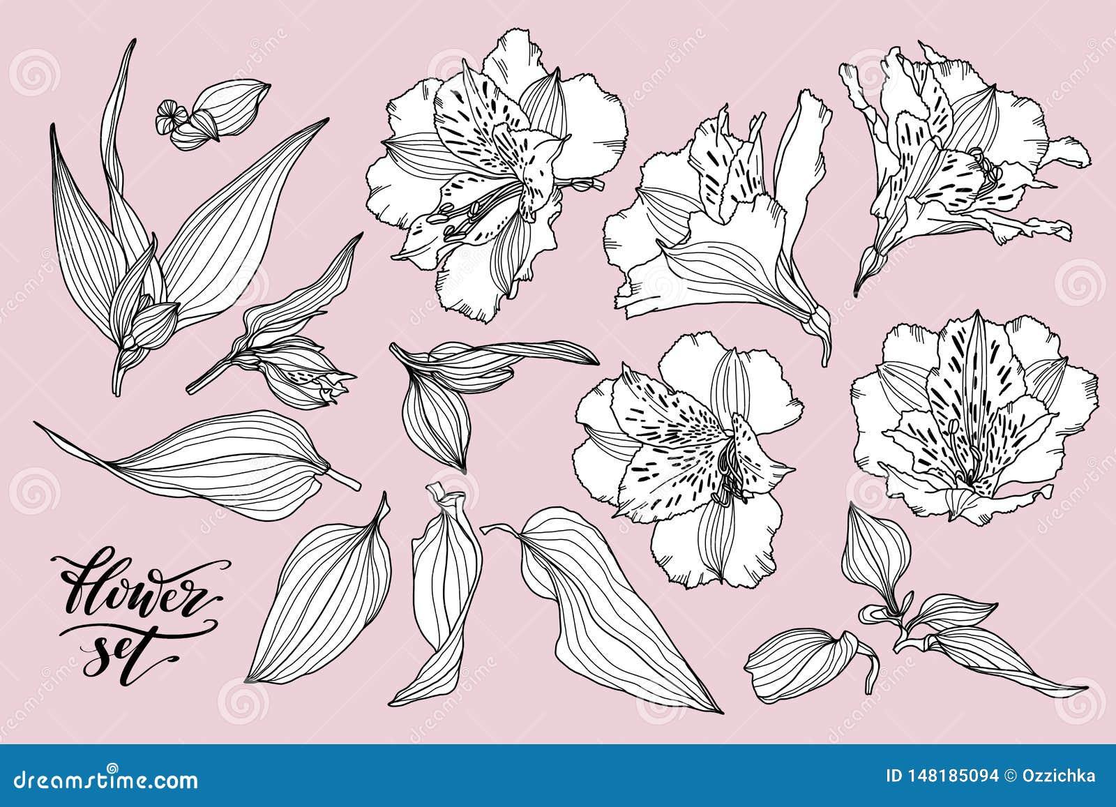 Vektorsamling av hand drog v?xter Den botaniska uppsättningen av skissar blommor, sidor och filialer Dragen Alstroemeriahand