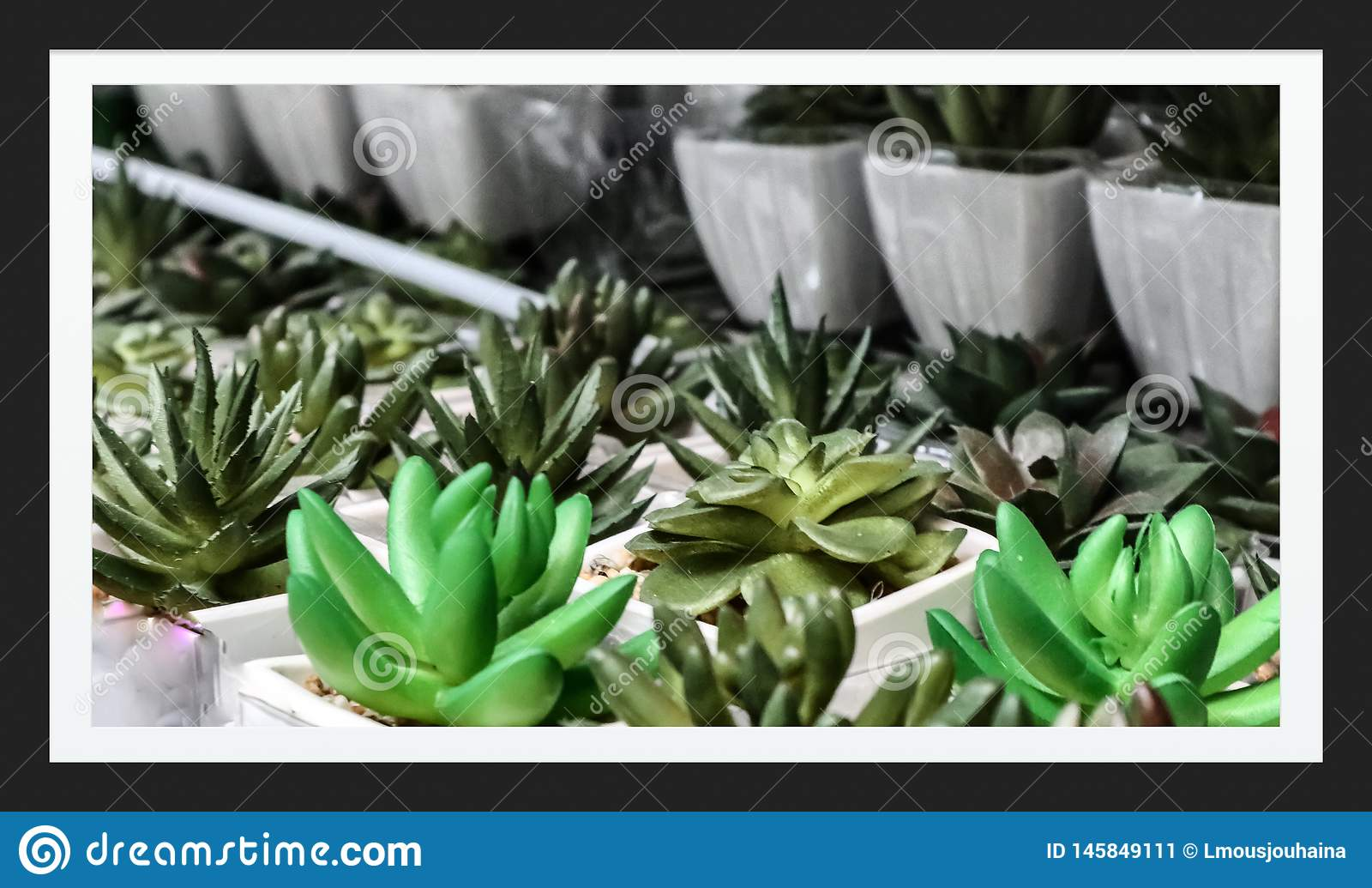 Vele Babycactus in Tuin
