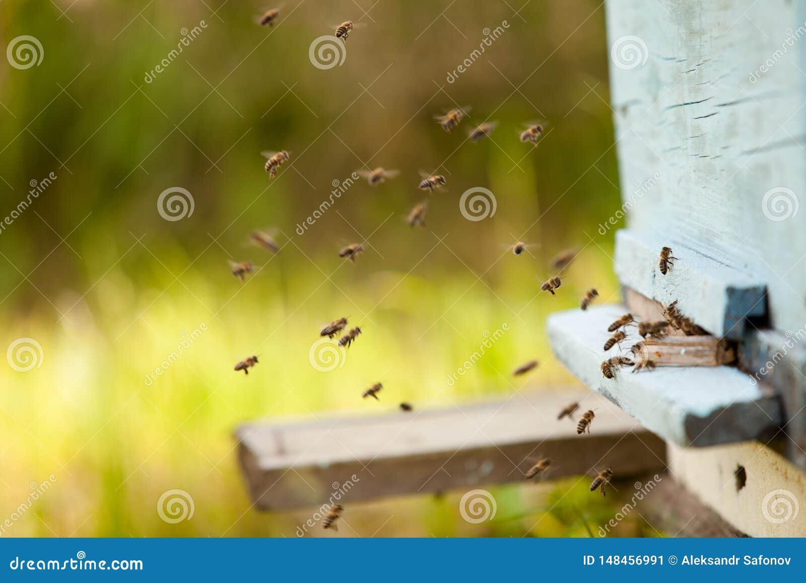 Vele bijen vliegen aan de bijenkorf, imkerij in het platteland bijenstal van bijen in de lente