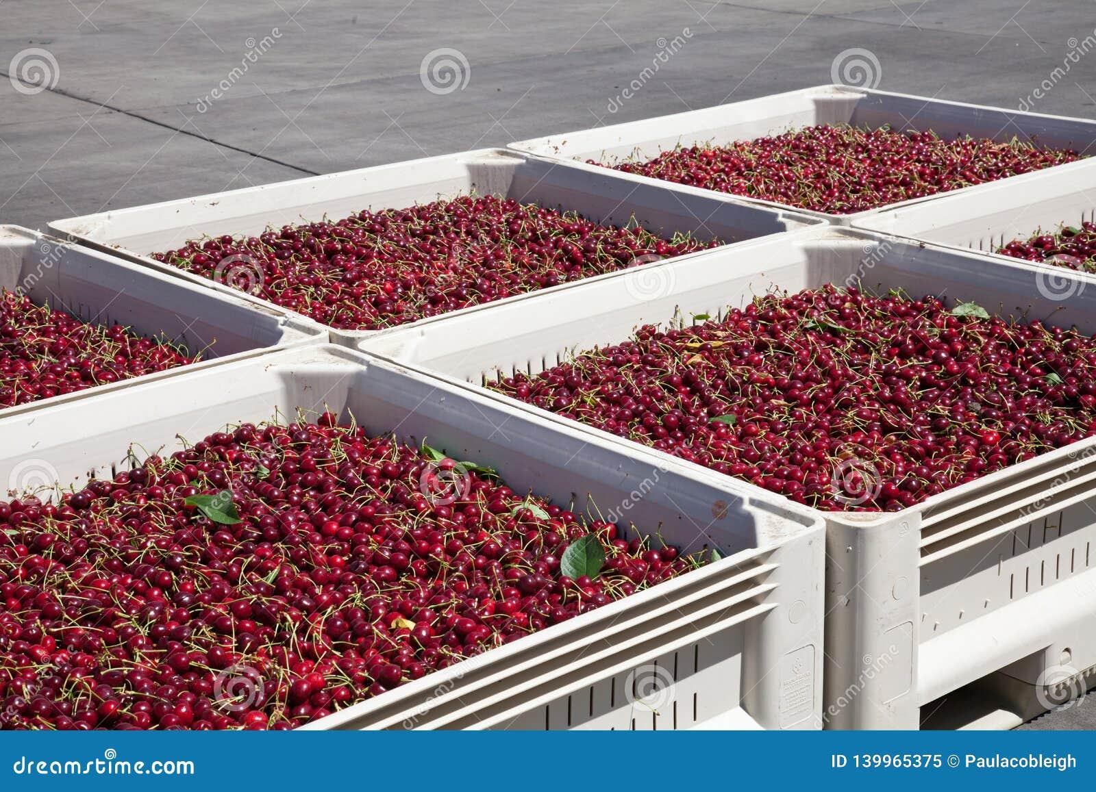 Vele rode rijpe kersen in een bak klaar om voor verkoop worden verpakt