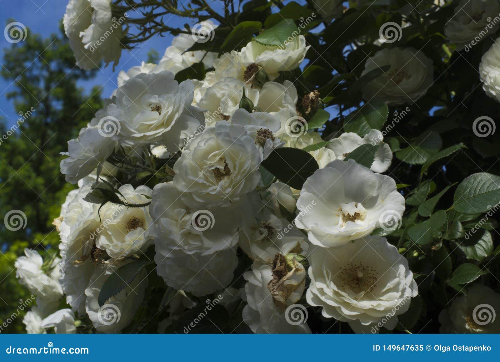 Vele rozen op de struik in de blauwe hemel