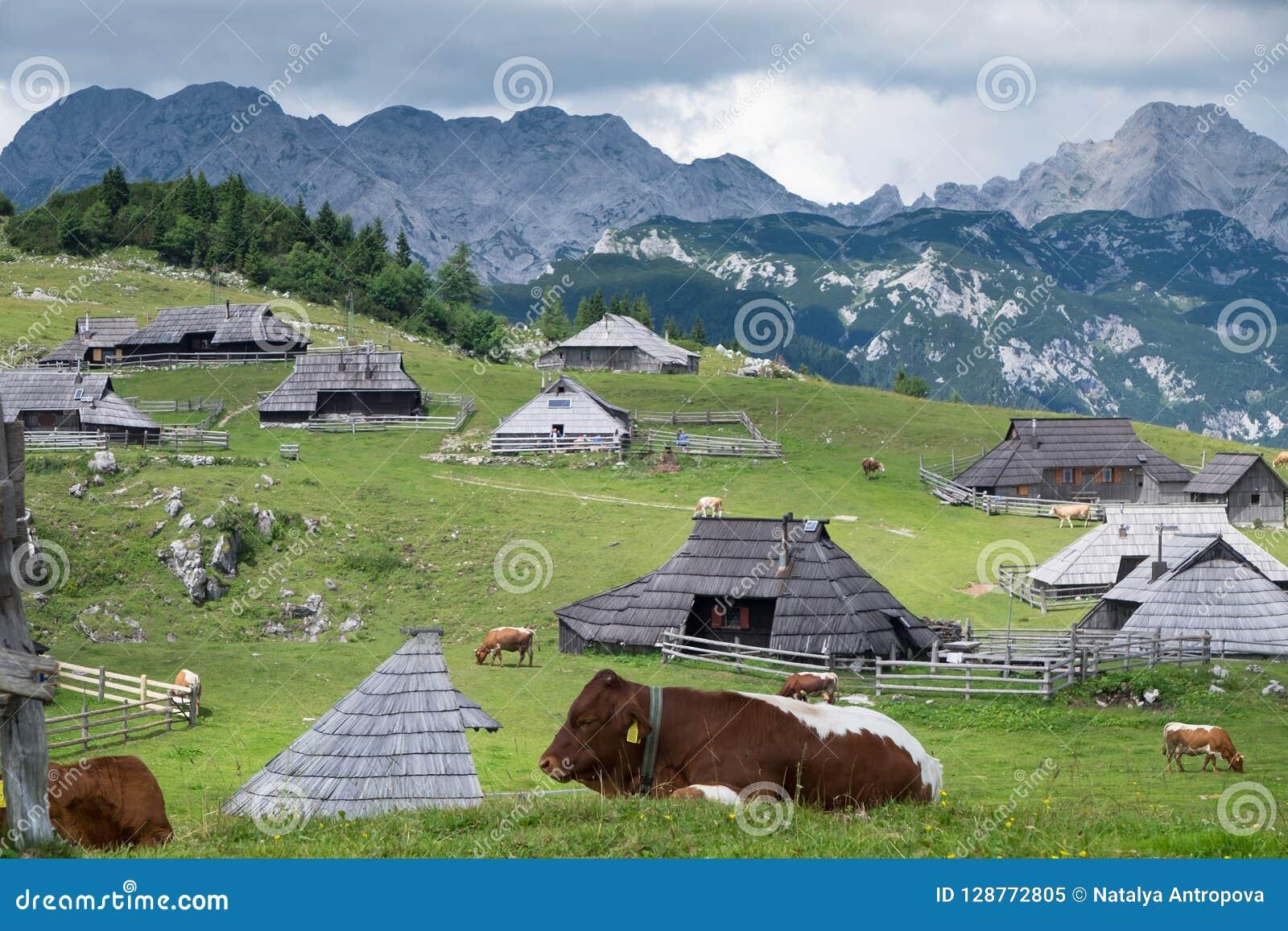 Velikaplanina Weidende koeien op de achtergrond van Alpiene bergen