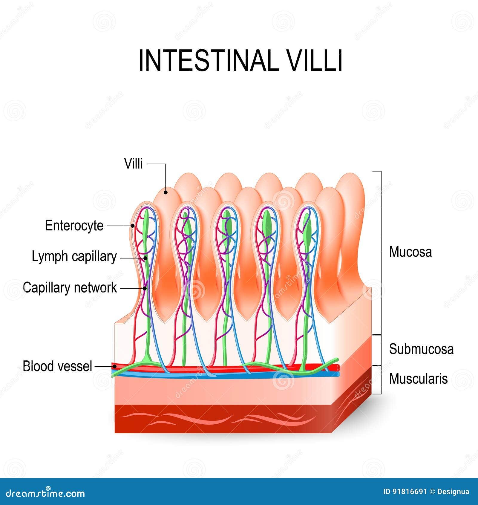 Vellosidades Intestinales En El Intestino Delgado Anatomía Humana ...