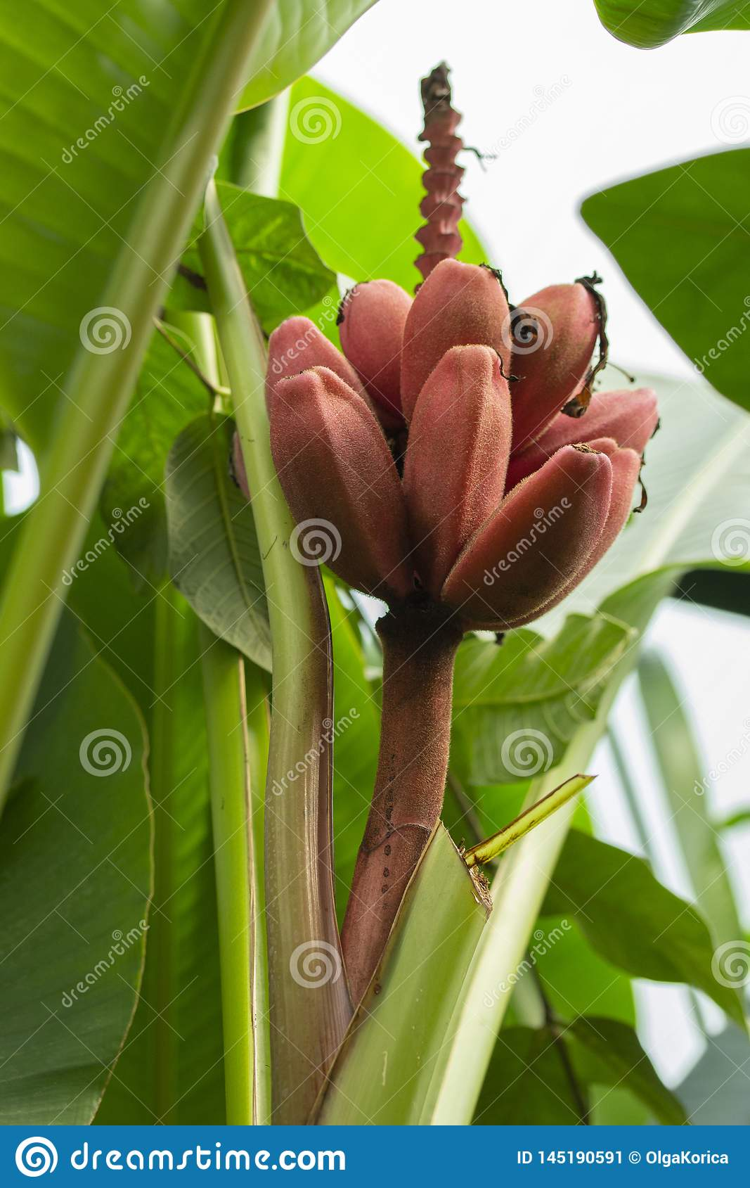 Velvet Pink Banana fruits of an exotic tropical banana on a branch among the leaves. stack of red pink purple bananas