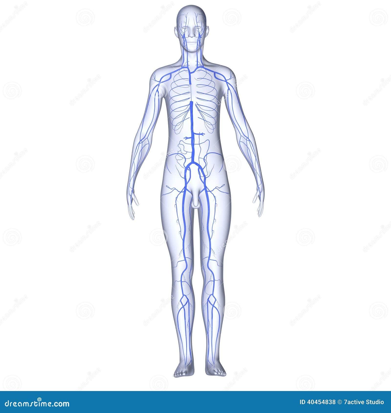 Venas con el cuerpo stock de ilustración. Ilustración de forma ...