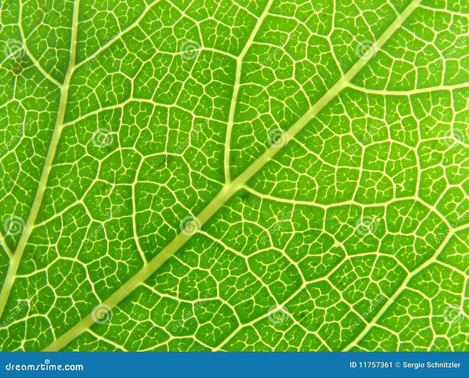 Venas verdes 04 de la hoja