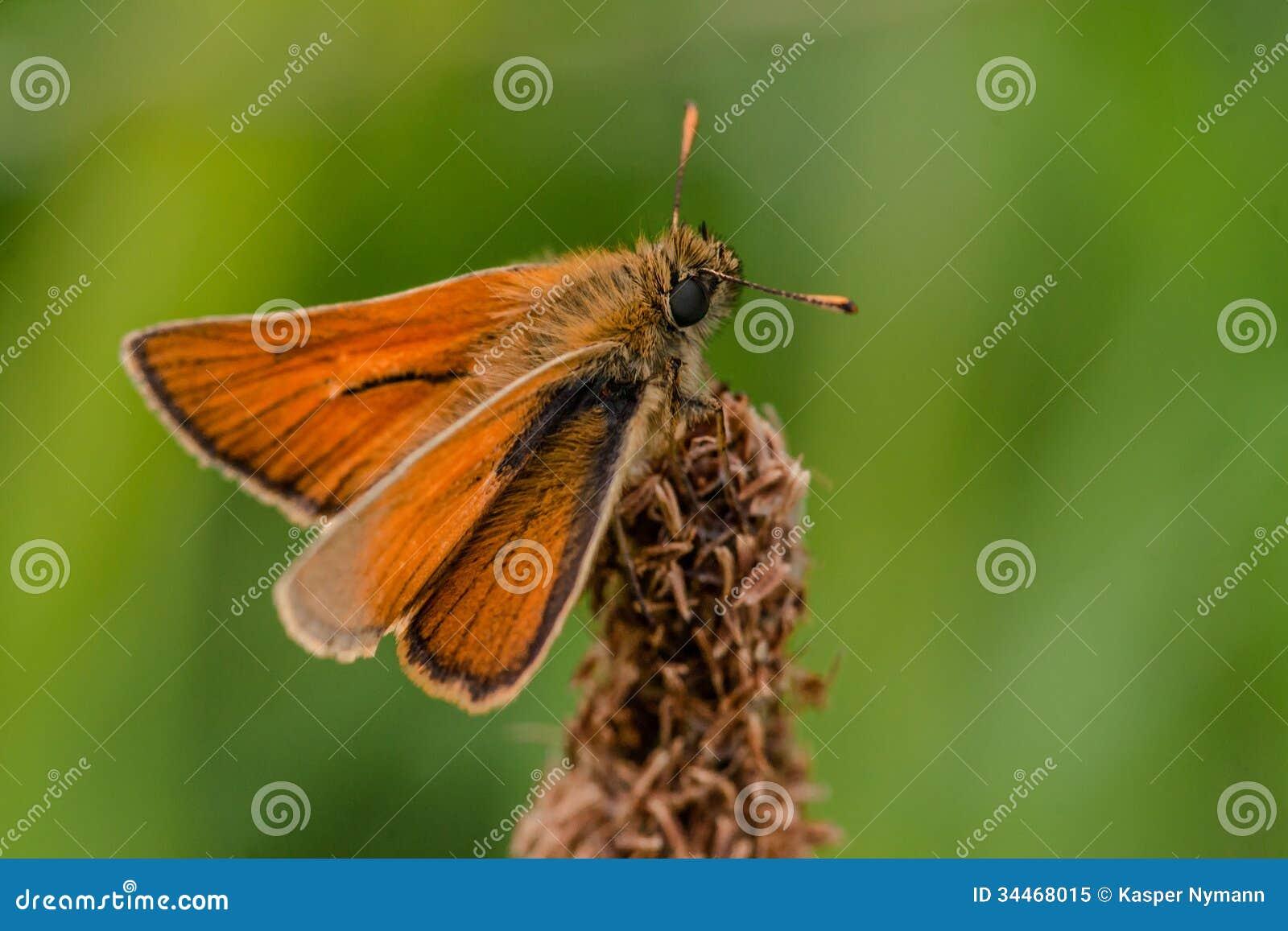Venata moth