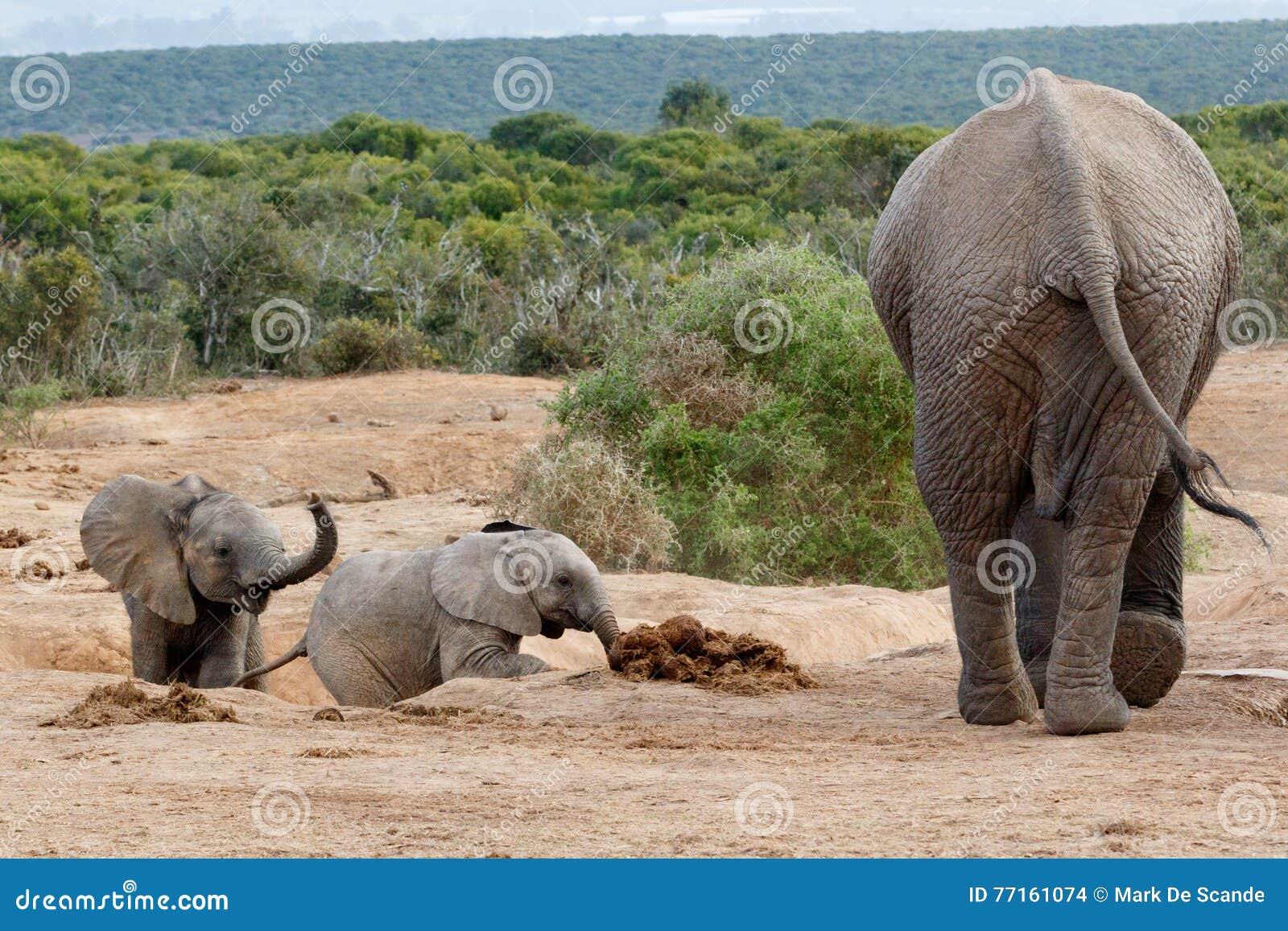 Venez les enfants - famille d éléphant de Bush d Africain