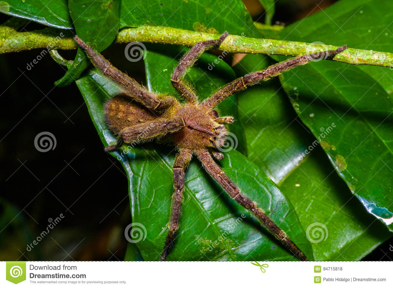Venomous wandering spider Phoneutria fera sitting on a heliconia leaf in the amazon rainforest in the Cuyabeno National