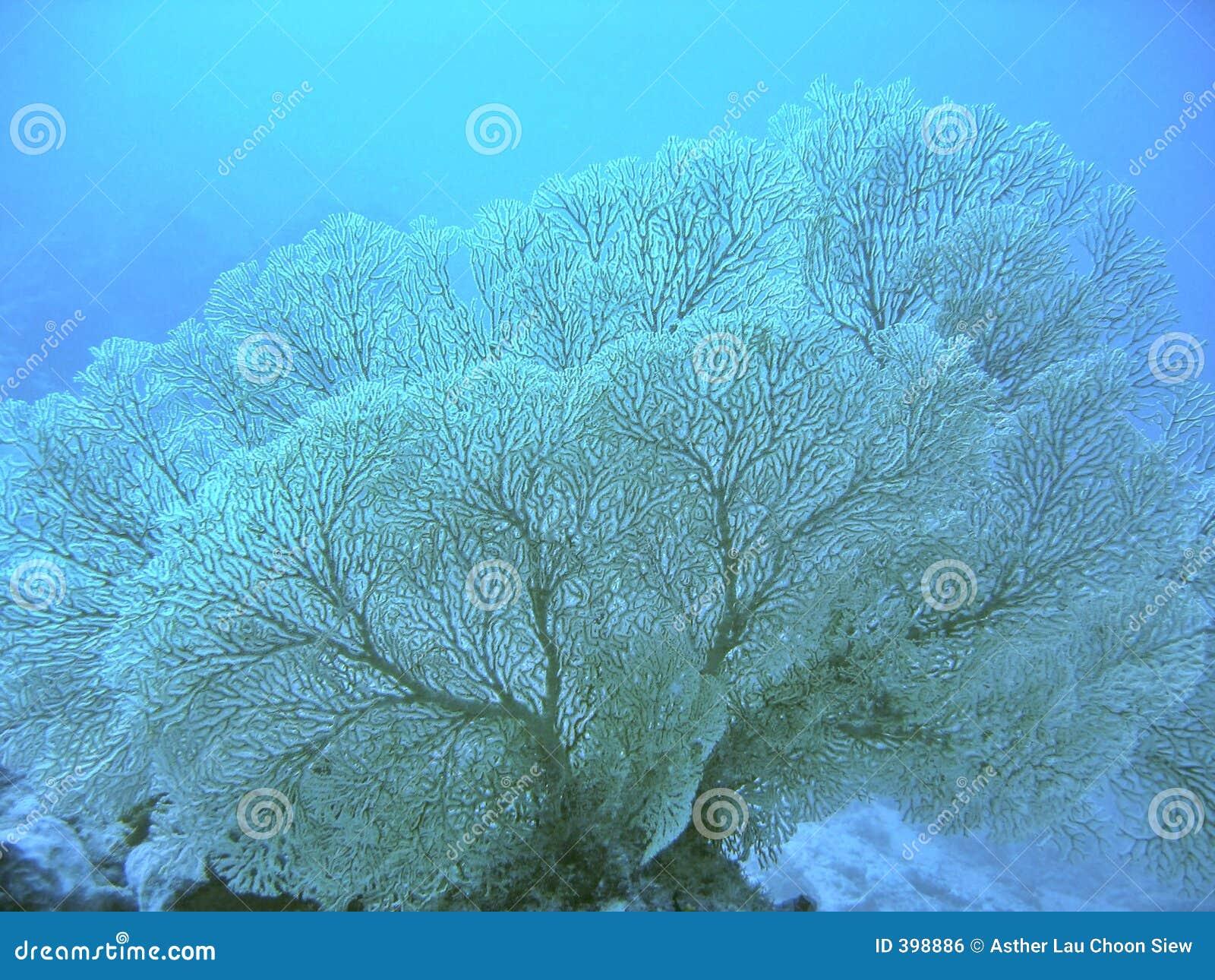 Ventilateur de mer de Gorgonian