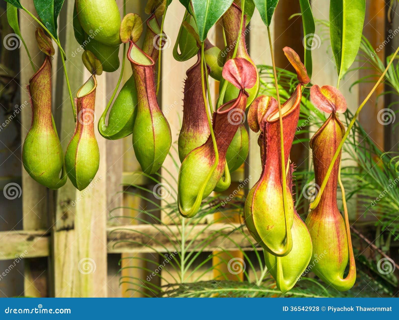 Ventrata del nepente una pianta carnivora fotografie for Piante carnivore prezzi