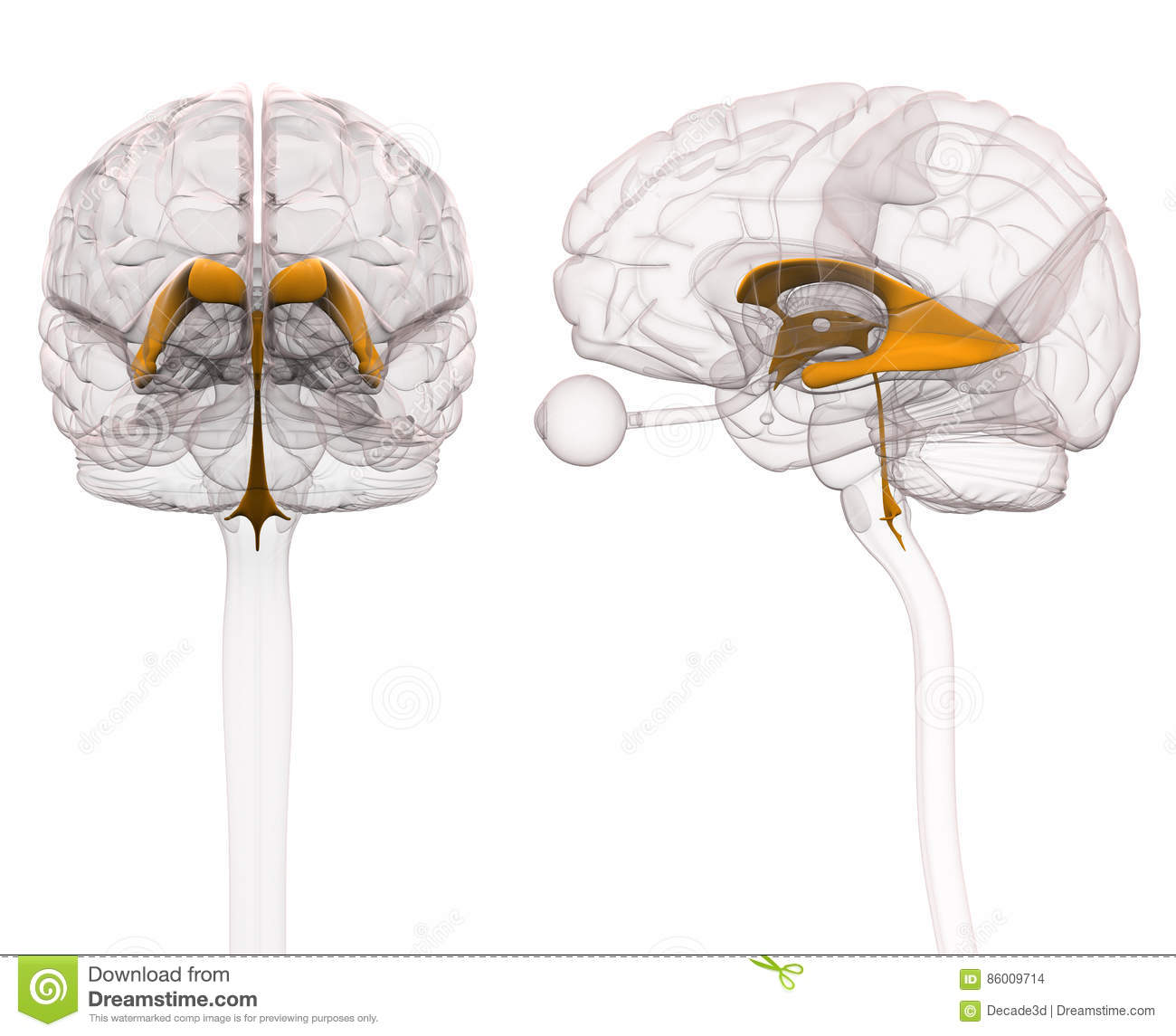 Ventricles Of Brain Anatomy Stock Illustration Illustration Of