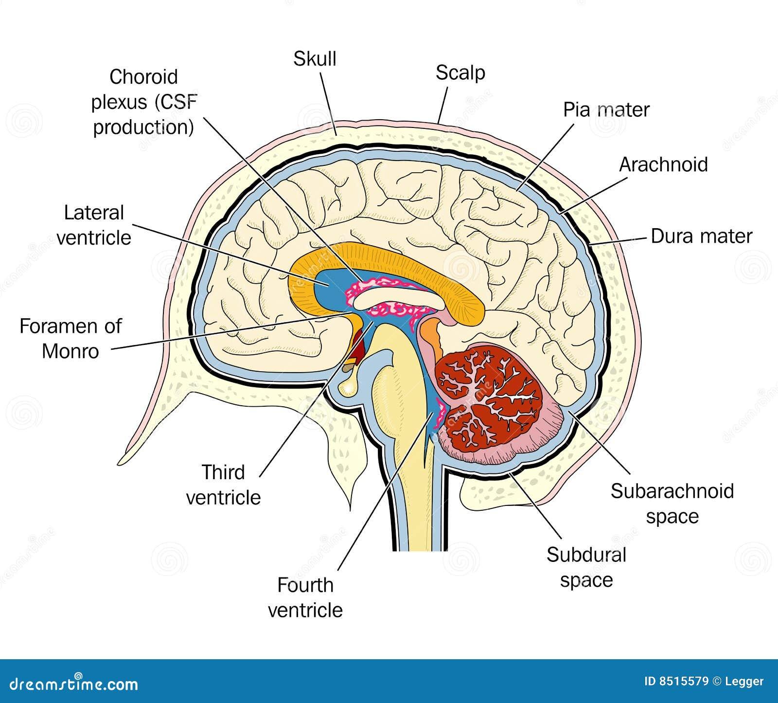 Ventrikels van de hersenen vector illustratie. Illustratie bestaande ...
