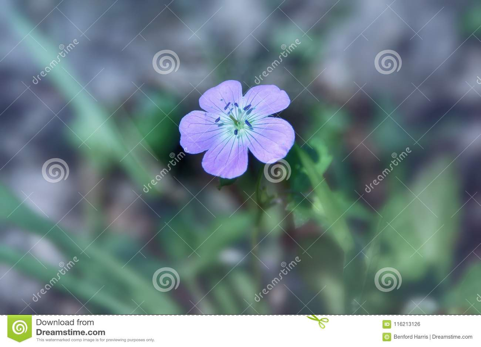 Venus den etherial purpurfärgade lösa blomman