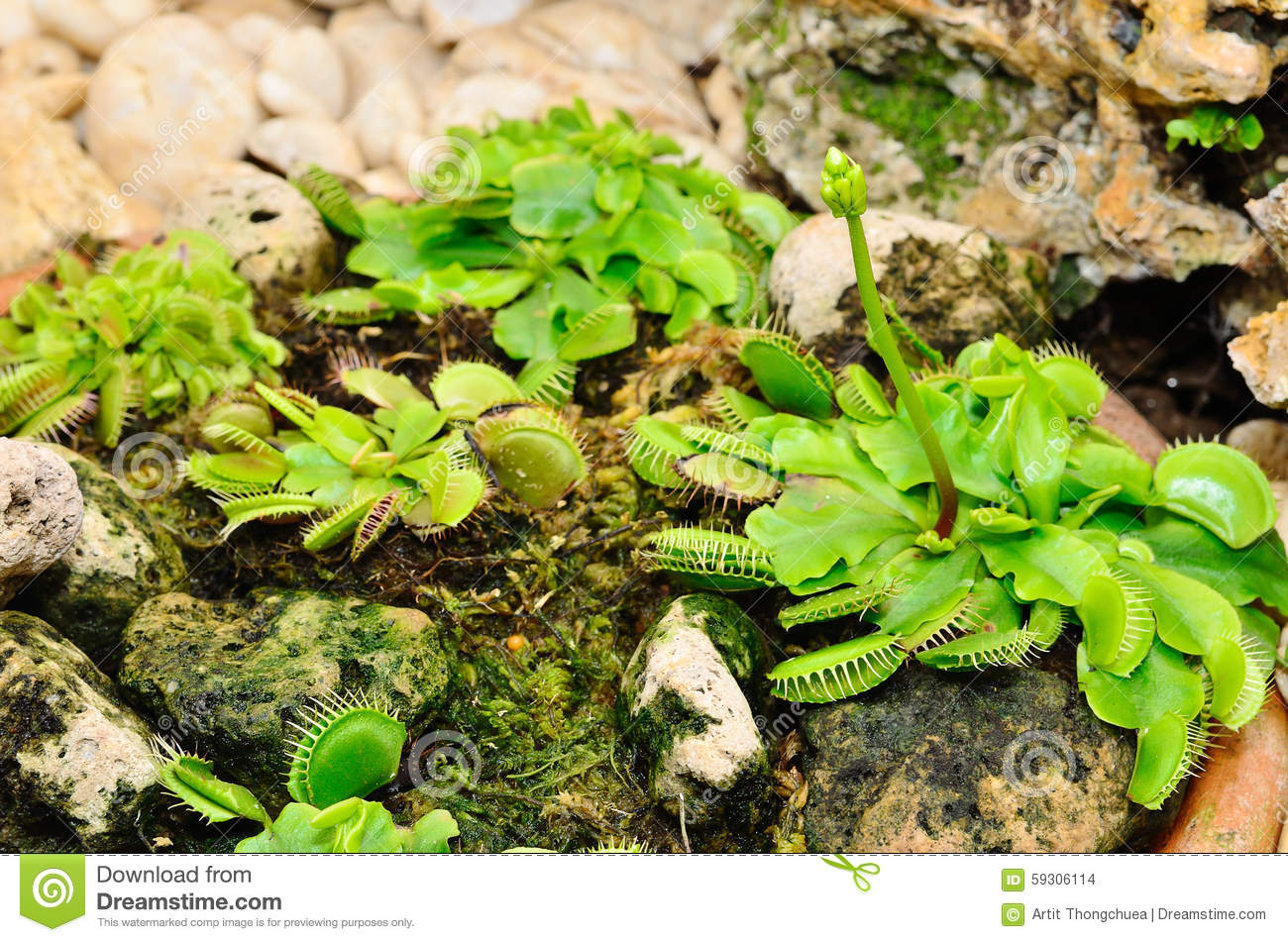 Venus Flytrap Or Carnivorous Plant Stock Photo Image Of Insectivorous Nature 59306114