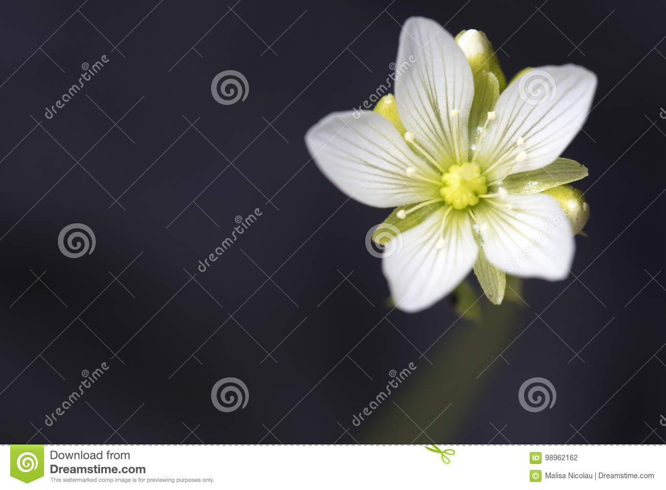Small White Flower Of The Venus Flytrap Plant Stock Photo Image Of