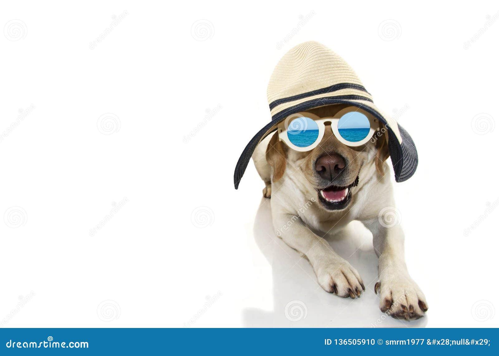 caadf7d69 Verão do cão O CACHORRINHO DE LABRADOR VESTIDO COM ÓCULOS DE SOL E CHAPÉU  DE PAMELA, APRONTA-SE PARA A PRAIA TIRO ISOLADO CONTRA O FUNDO BRANCO