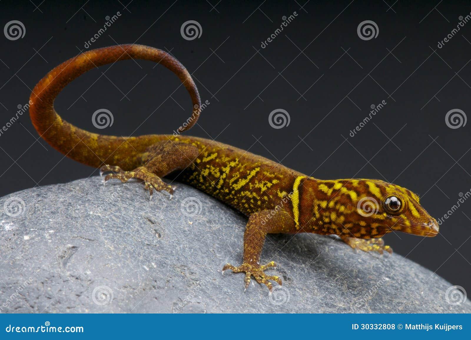 Veränderter Gecko/Gonatodes-cecilae
