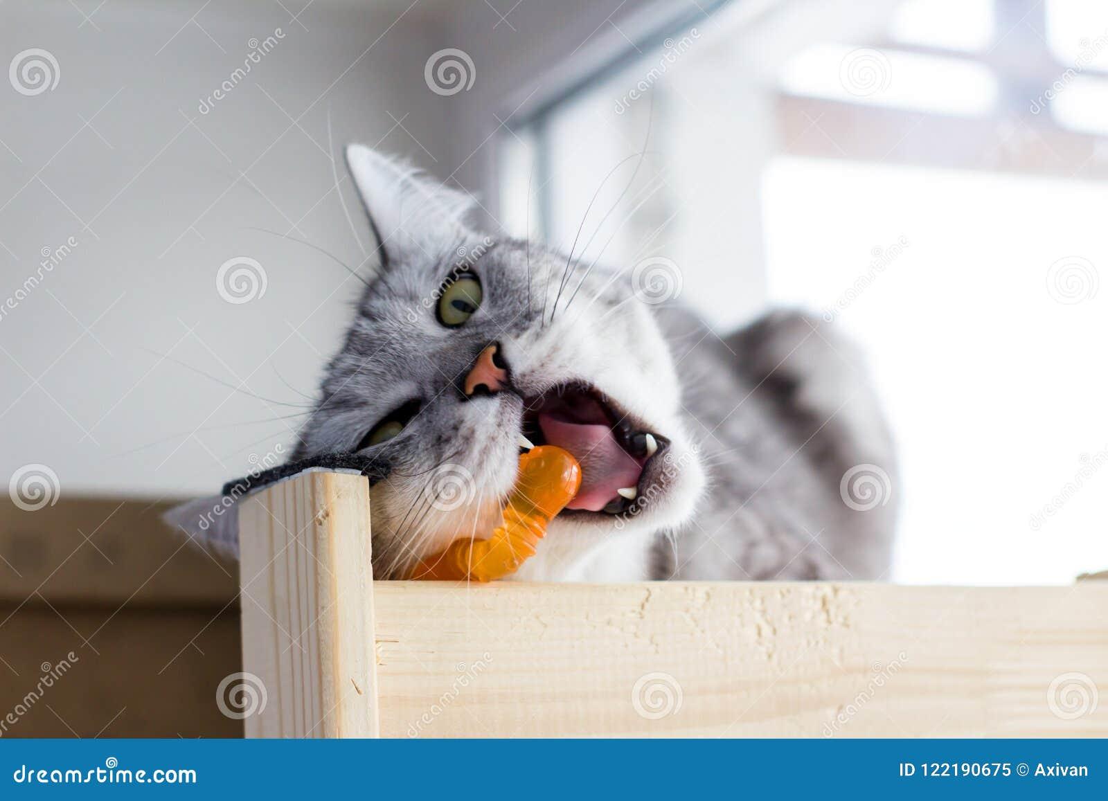 Verärgerte schottische lustige Katze beißt orange Spielzeug