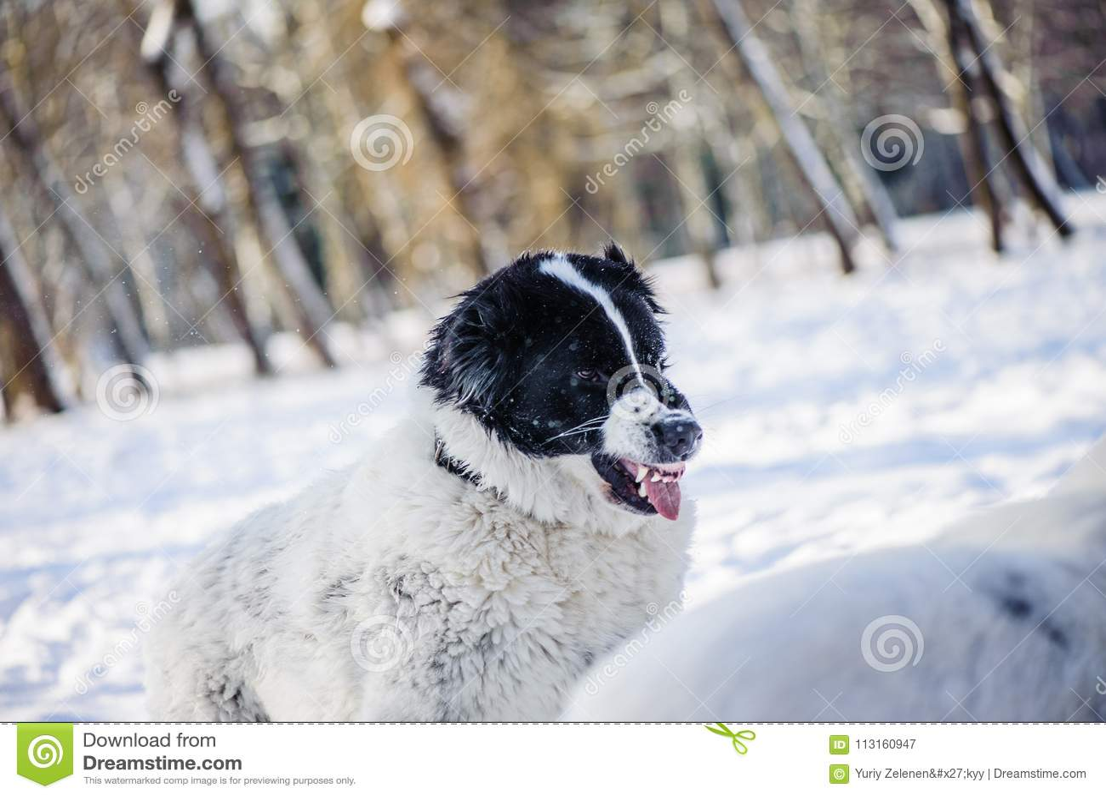 Verärgerter Hund mit den blanken Zähnen