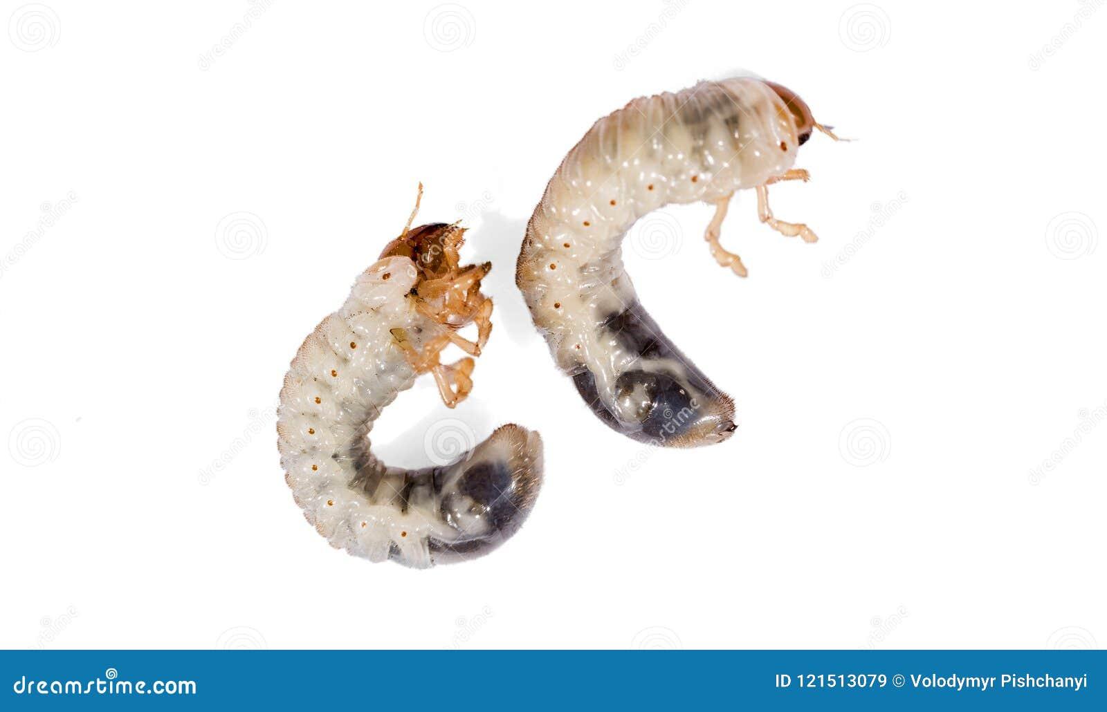 Ver blanc de scarabée d isolement sur le fond blanc Larve du scarabée de mai Parasite agricole