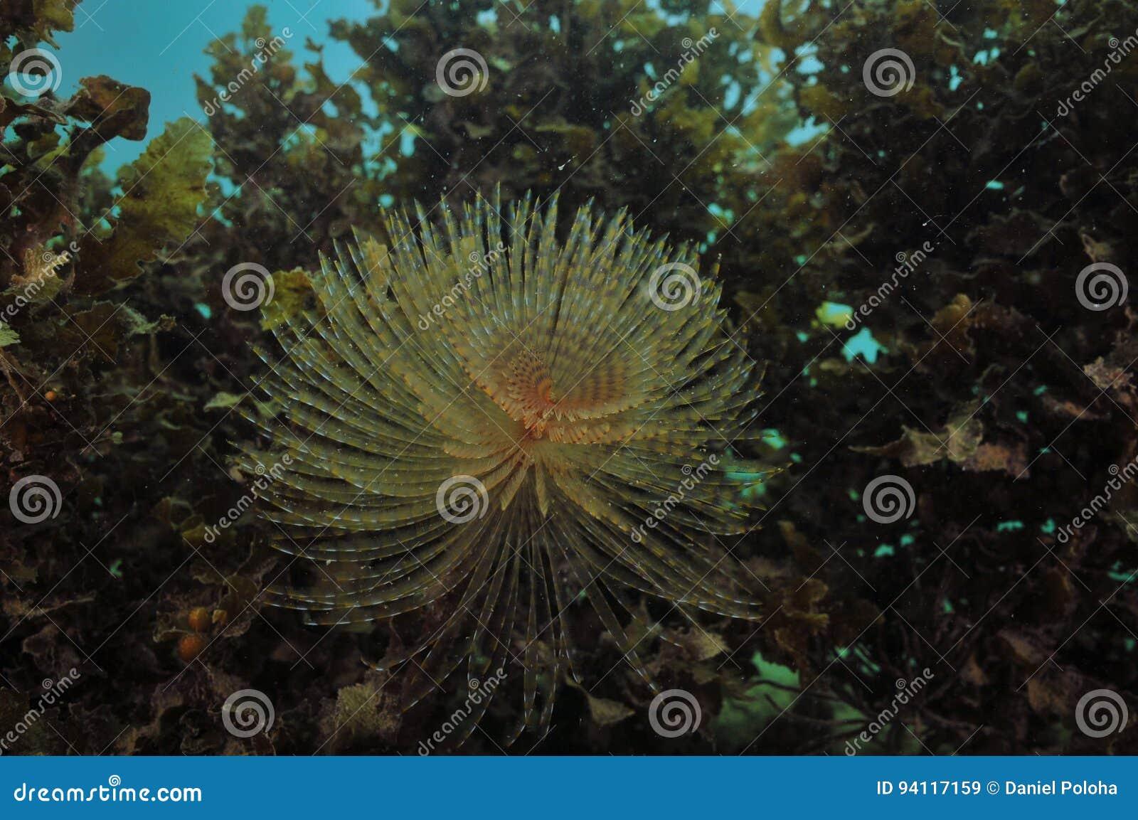 Ver de fan devant les mauvaises herbes brunes de mer