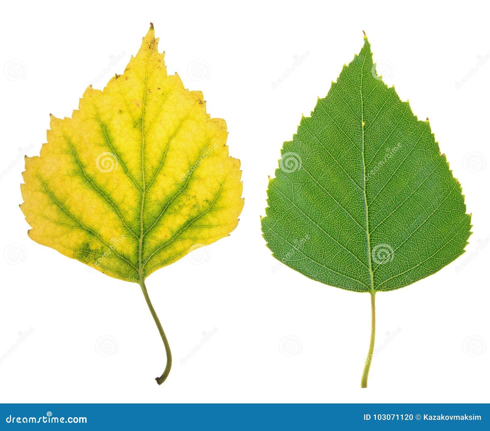 Verano verde y hoja amarilla del otoño del abedul aislados en blanco