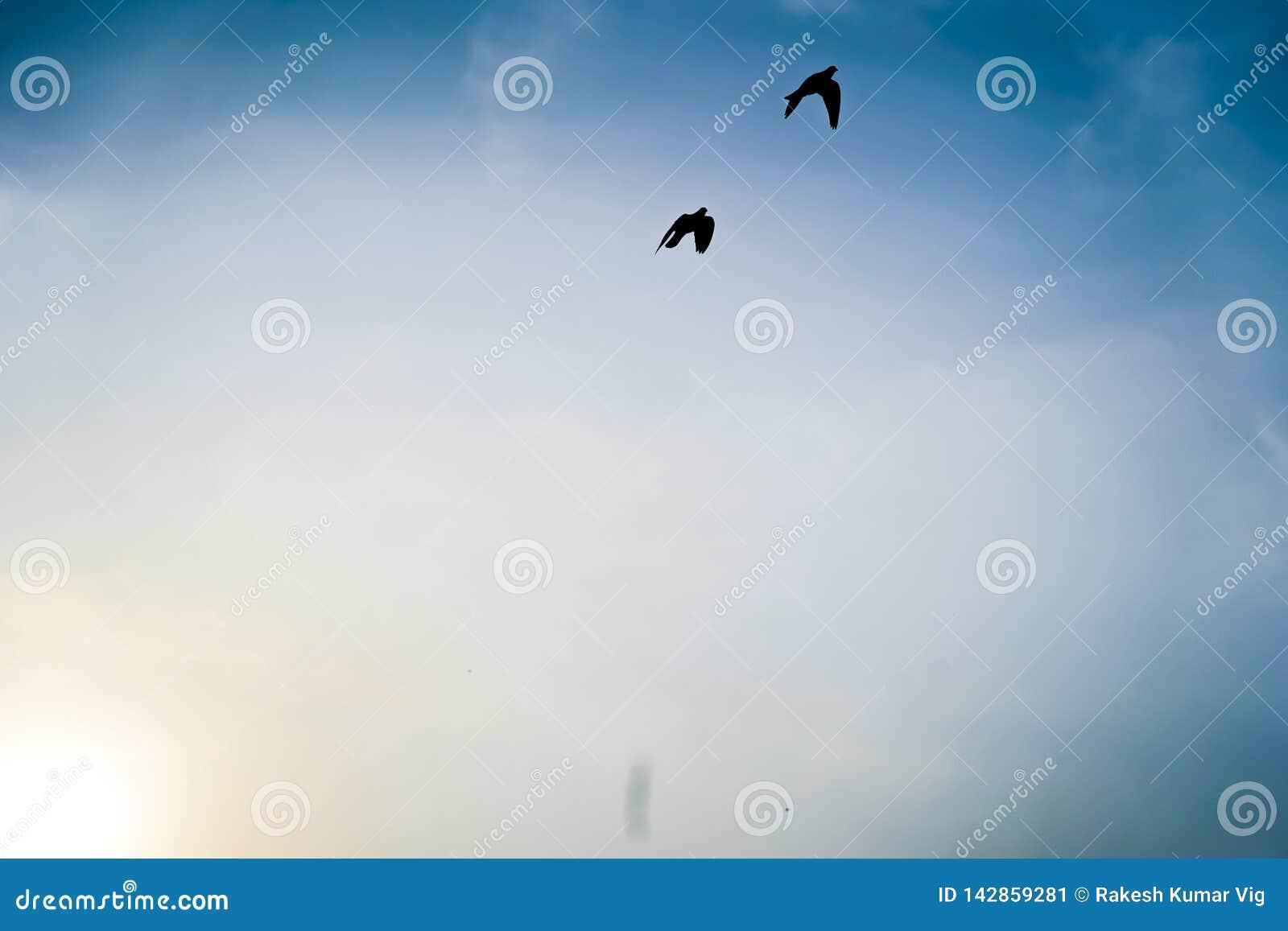 Verbazende vlucht van Duiven, tweelingduiven die met elkaar proberen te concurreren