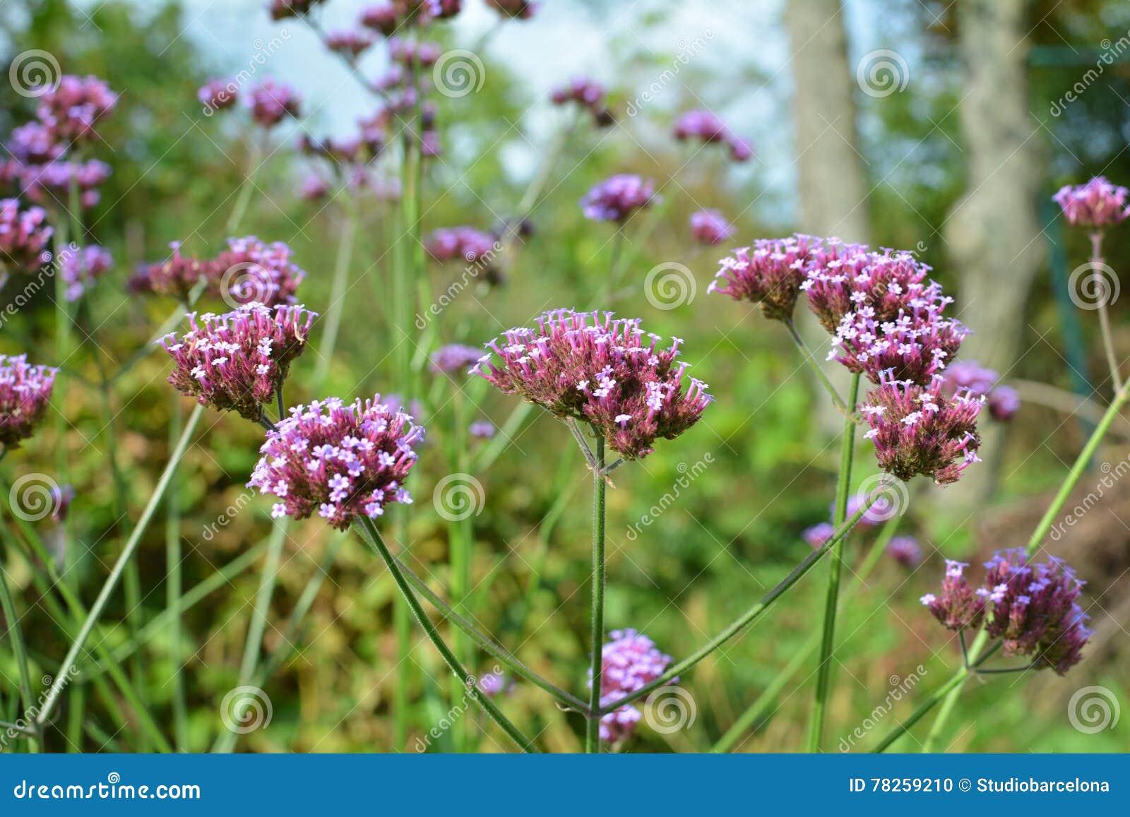 Verbena λουλούδια bonariensis