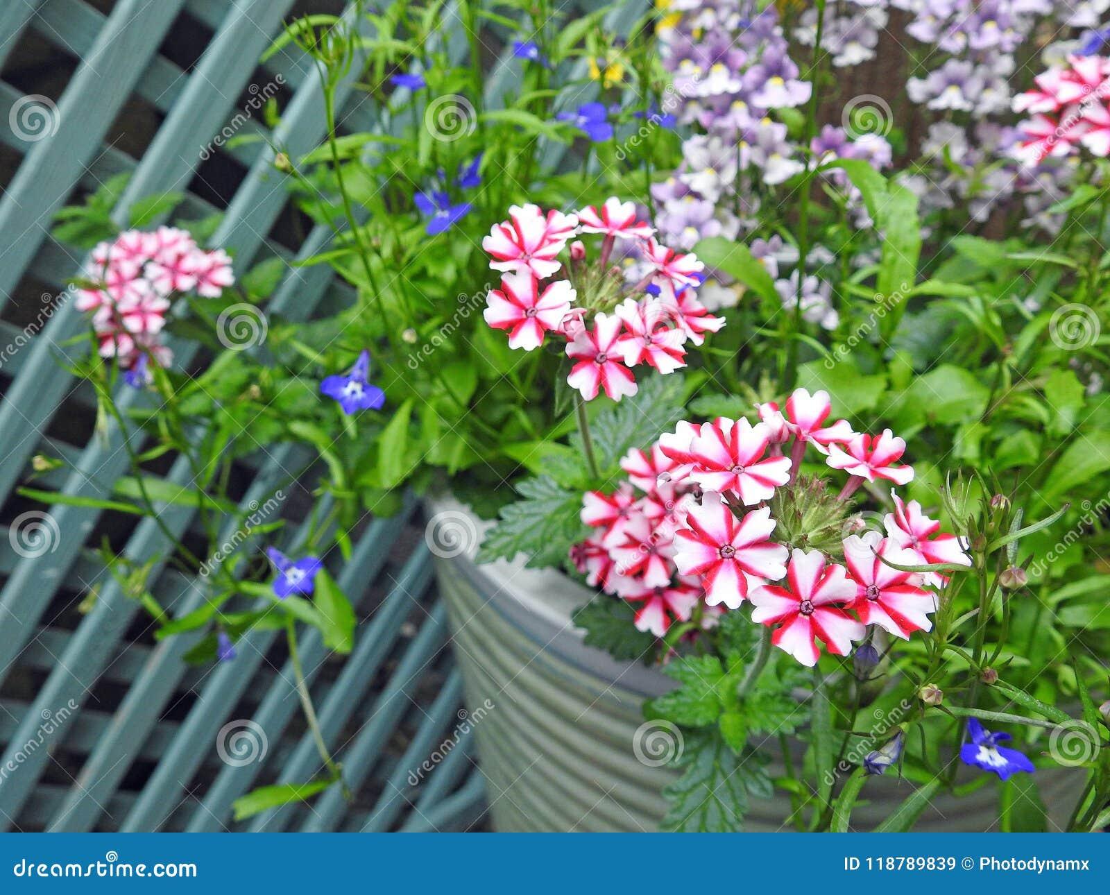 Piante Piccole Da Giardino verbena che cresce in piccole piante in vaso del giardino