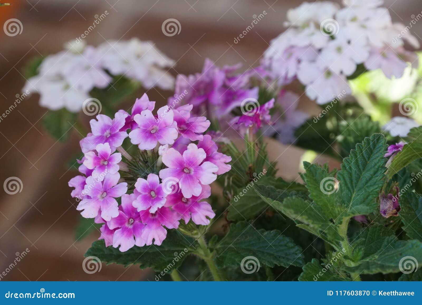 Verbena endurascape purple flowers bloom all season stock photo verbena endurascape purple flowers bloom all season izmirmasajfo