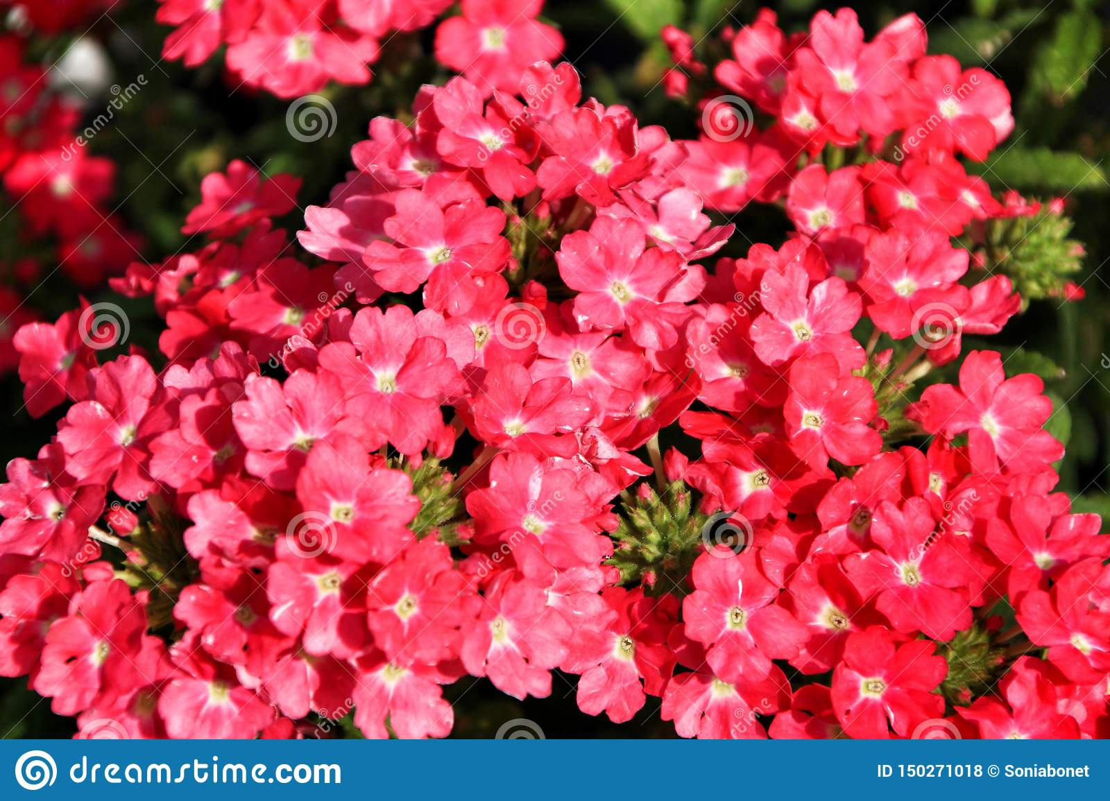 Verbena Flowers In The Garden Stock Photo , Image of flower