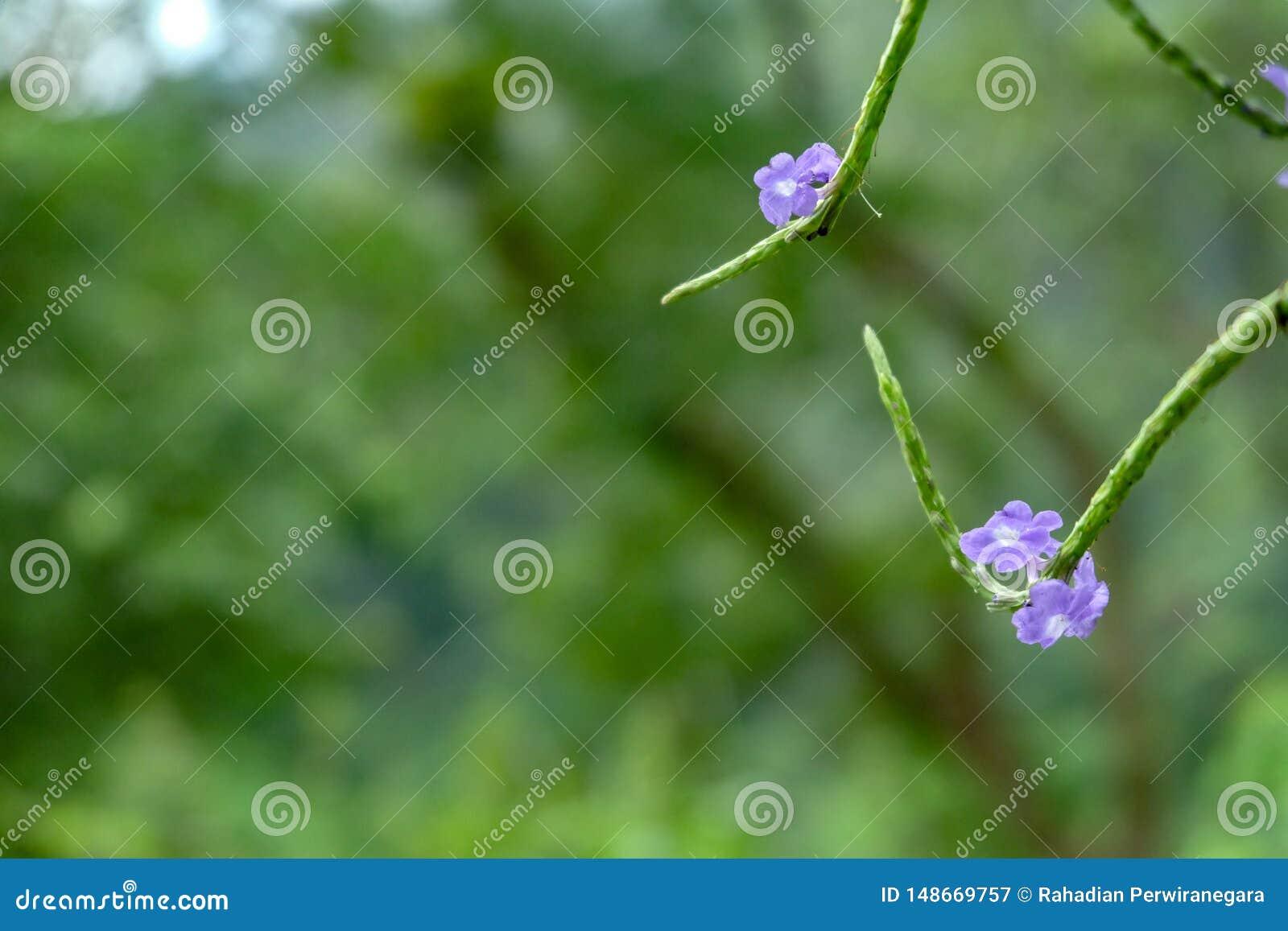Verbena Leym simples ou vervain Estreito-com folhas com fundo do bokeh indon?sia