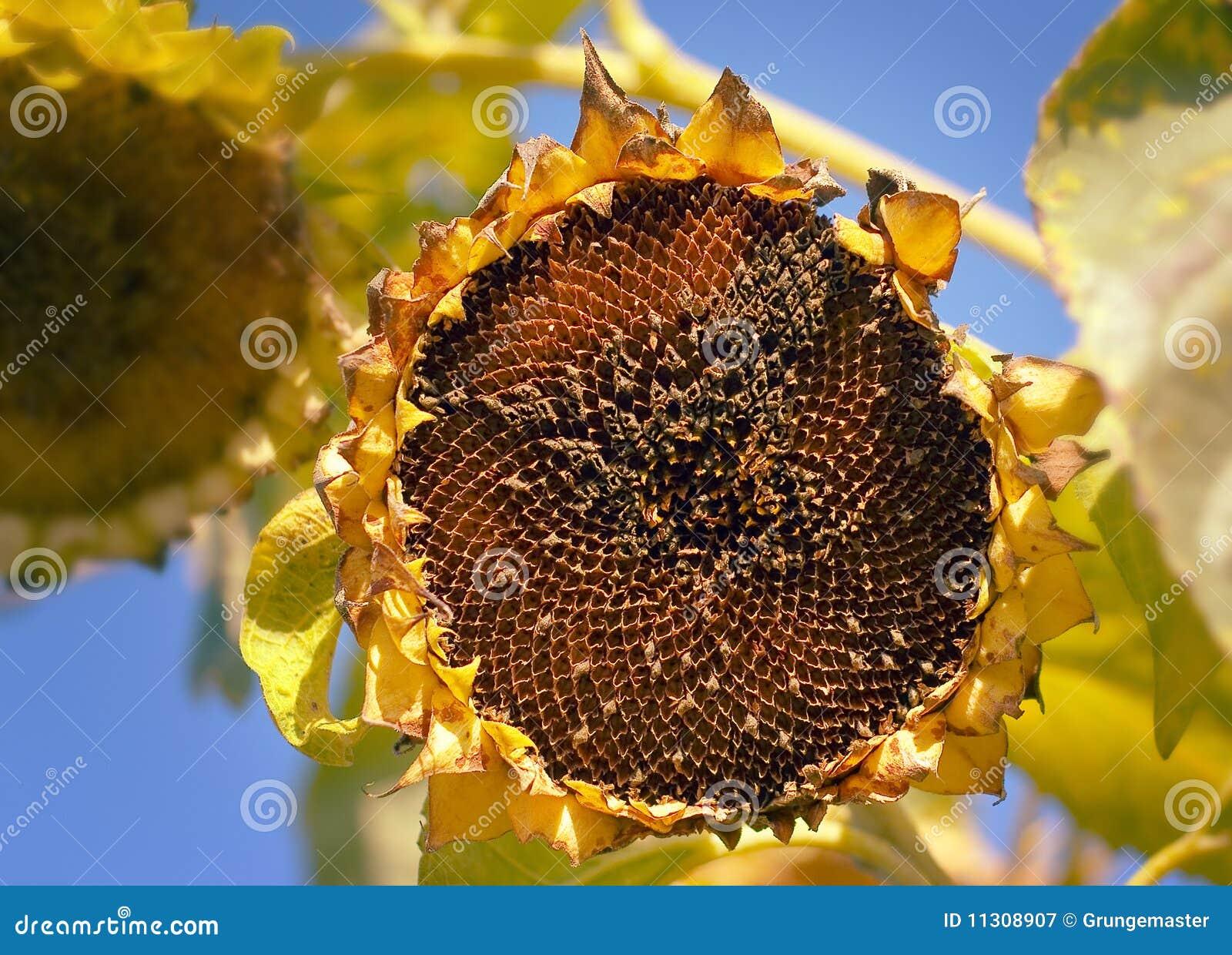 Verblassene Sonnenblume