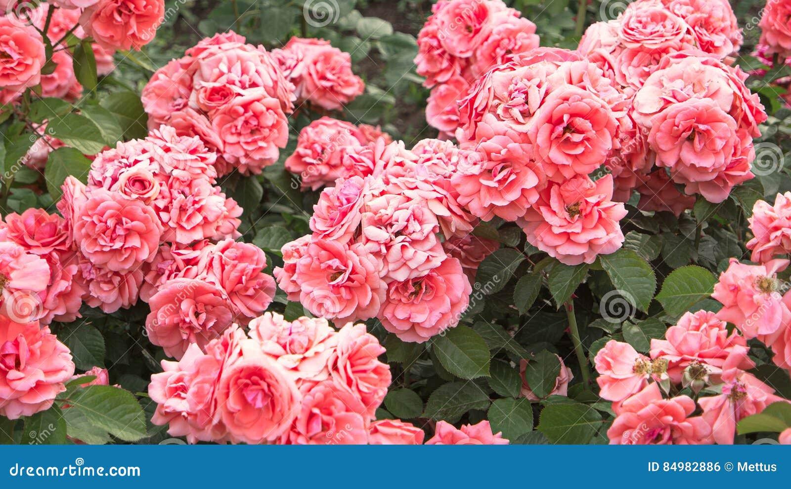 Verbleek - roze rozenstruik in tuin, uitstekende kleur Struik van mooie roze rozen