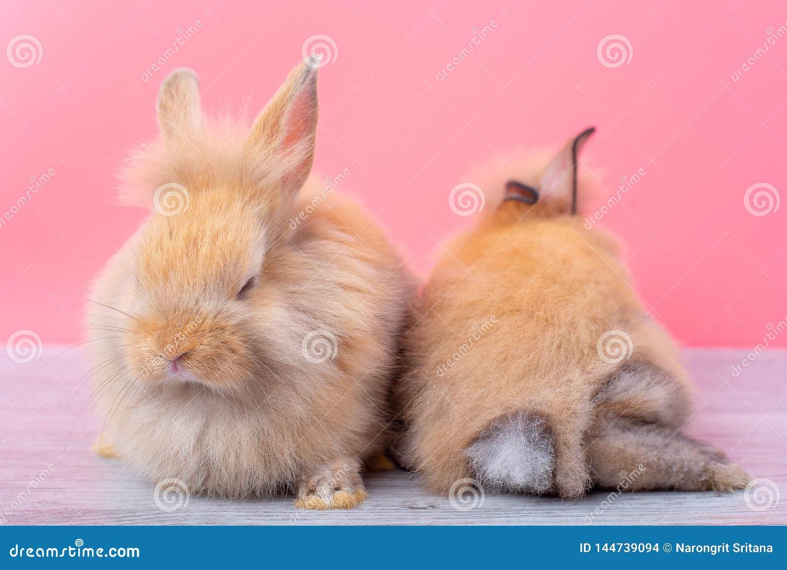 Verblijf van paar slaapt het kleine lichtbruine konijnen op grijze houten lijst en roze achtergrond met en de andere showrug van