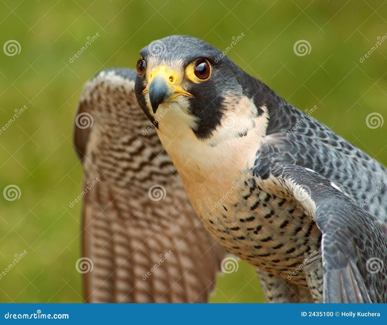 Verbreitungsflügel des ausländischen Falken