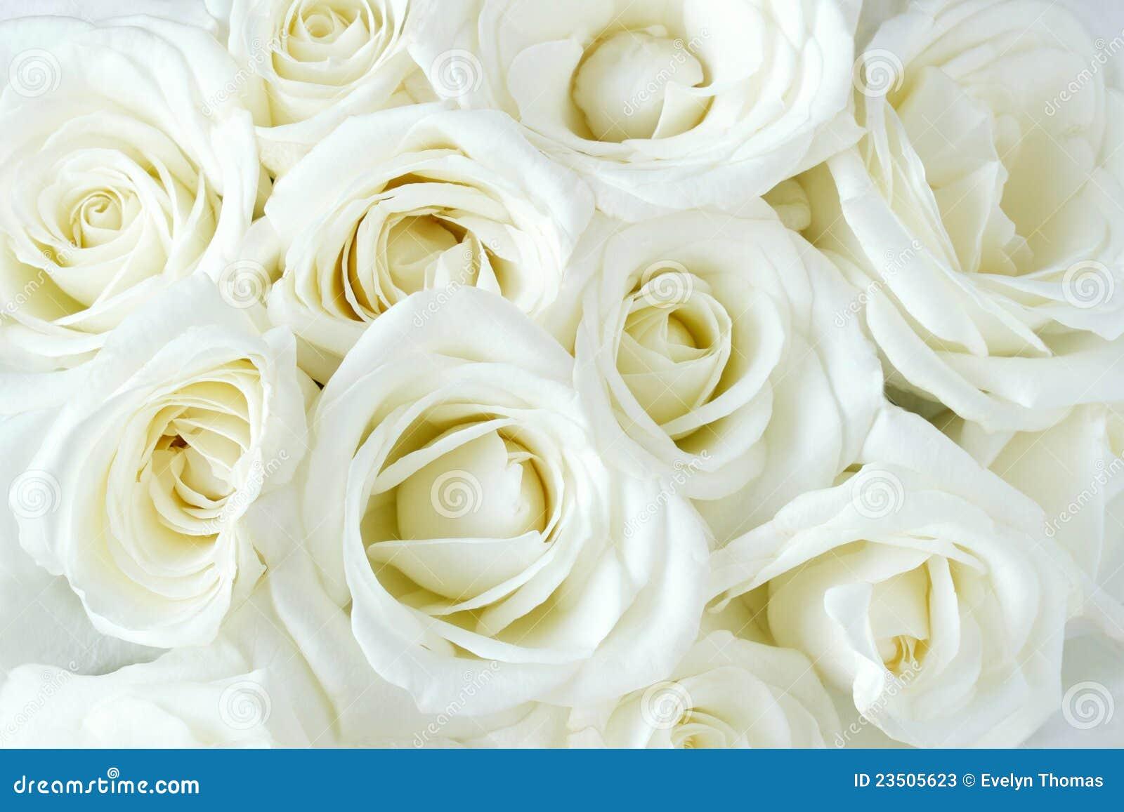 Verdaderas rosas blancas suaves