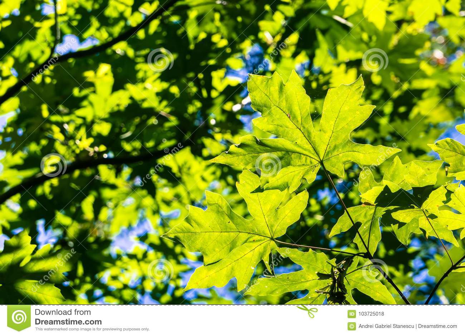 Verdant Green Bigleaf Maple Acer Macrophyllum Crown Stock Photo