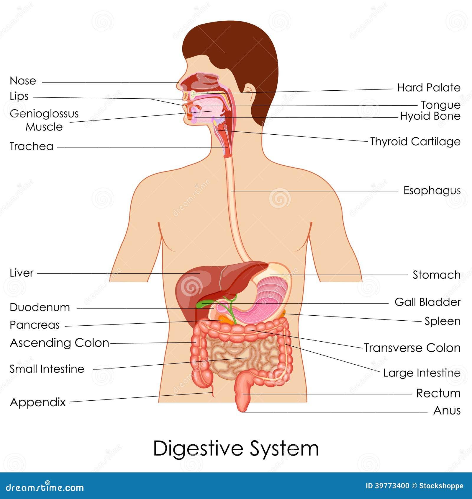 Verdauungssystem vektor abbildung. Illustration von gesundheit ...