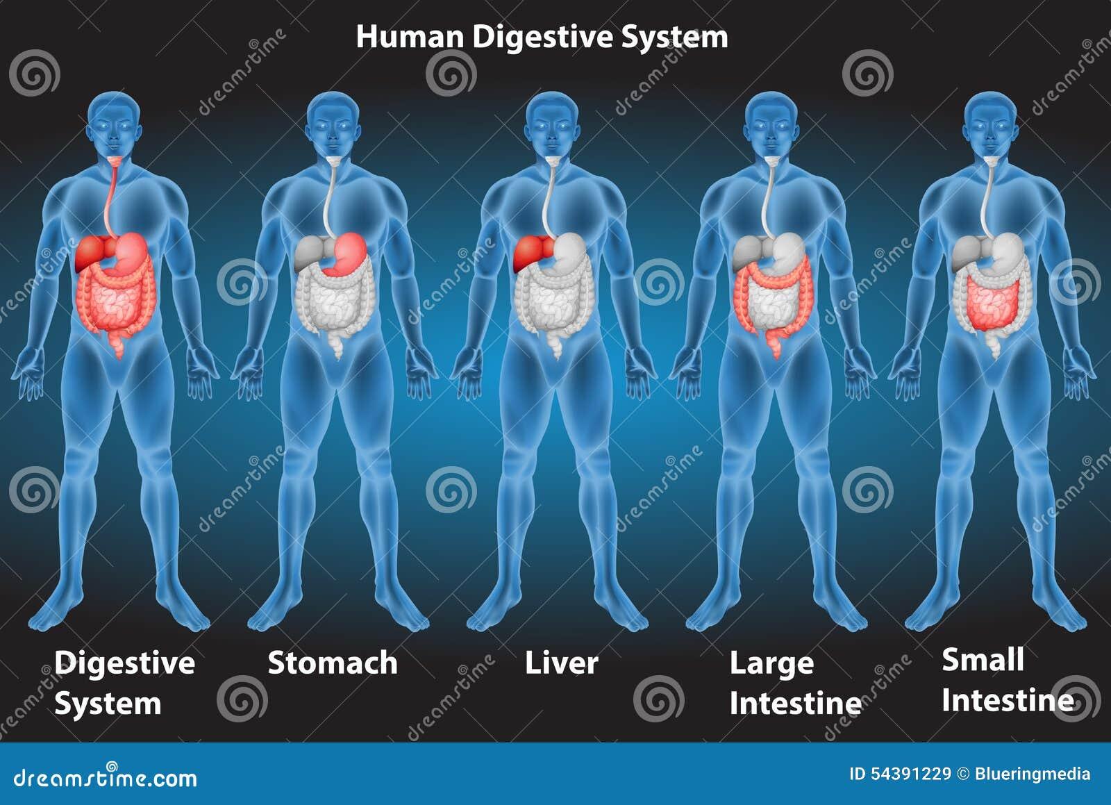 Gemütlich Diagramm Verdauungssystem Zeitgenössisch - Menschliche ...
