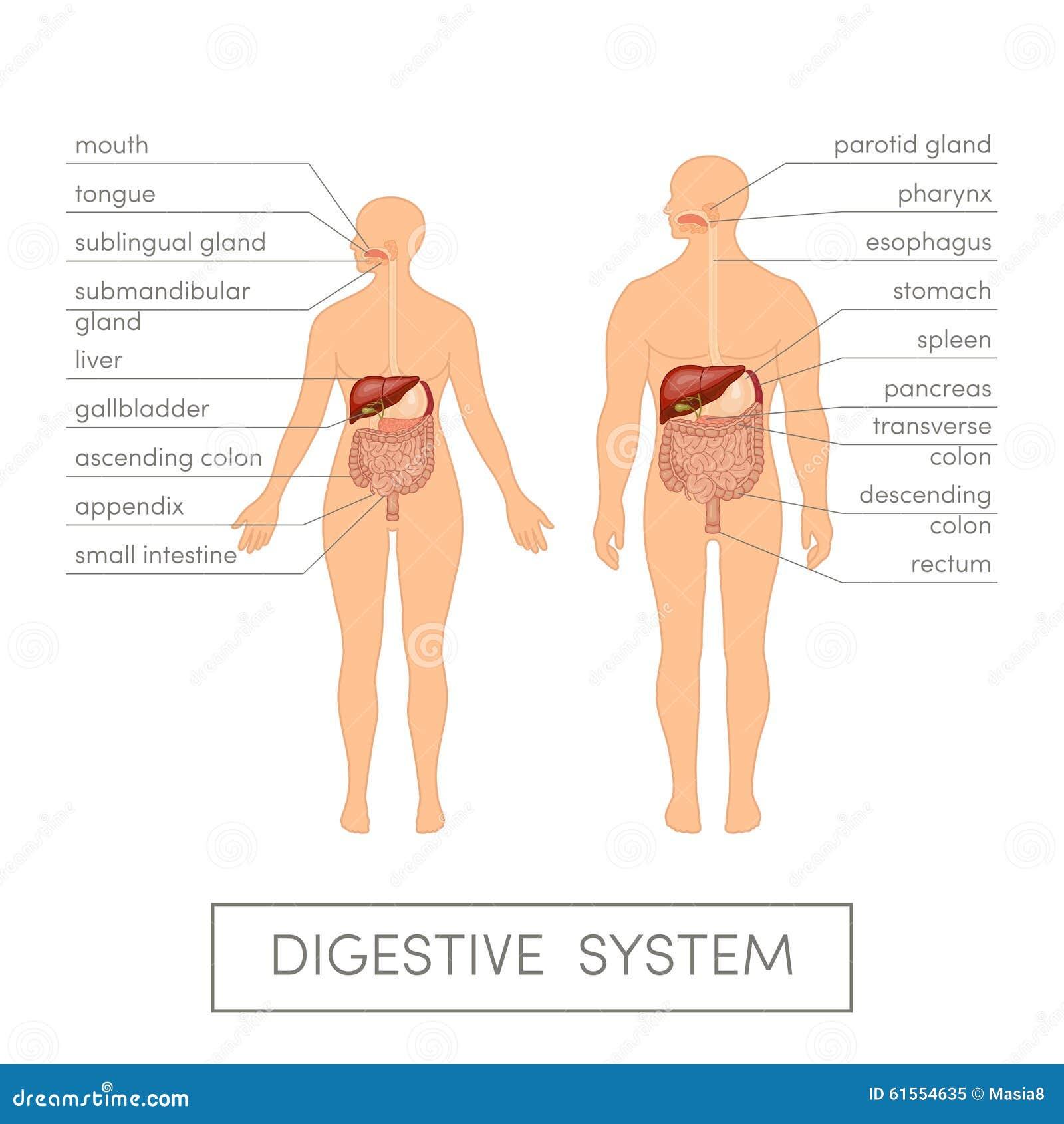 Verdauungssystem stock abbildung. Illustration von gesundheit - 61554635