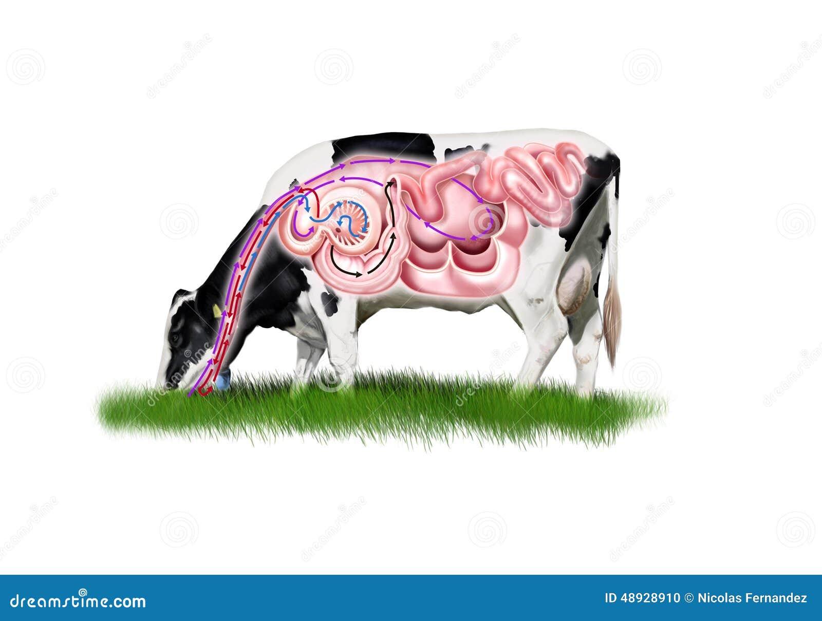 Verdauungssystem der Kuh stock abbildung. Illustration von system ...
