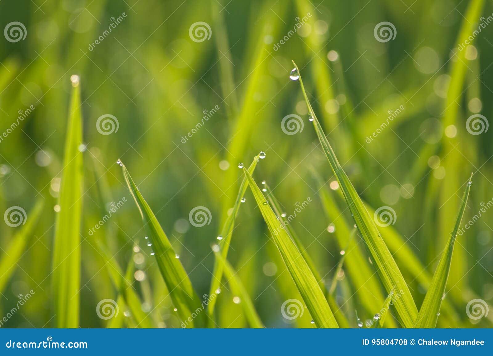 Verde de grama na manhã