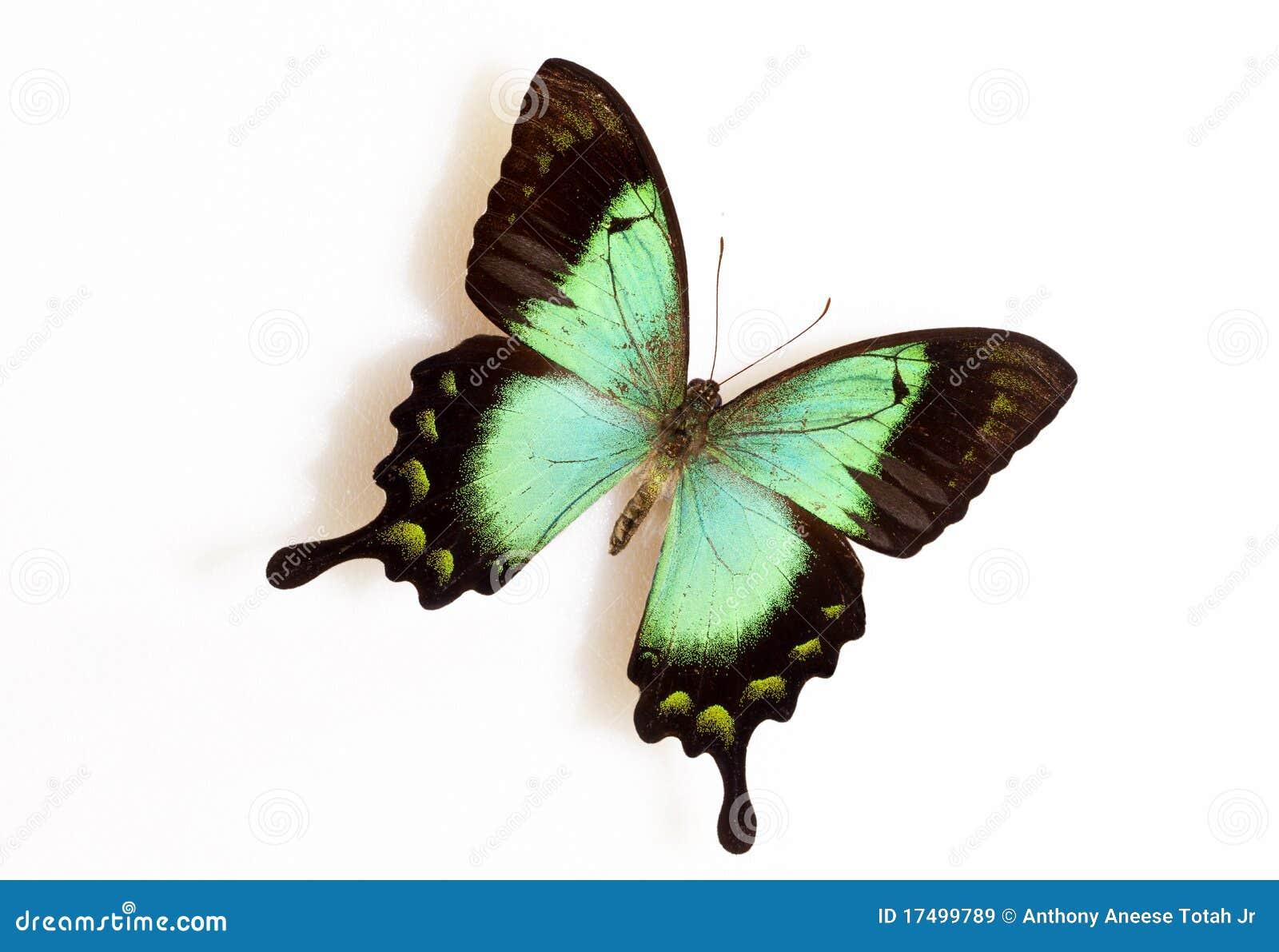 Verde de mar Swallowtail (lorquinianus de Papilio)