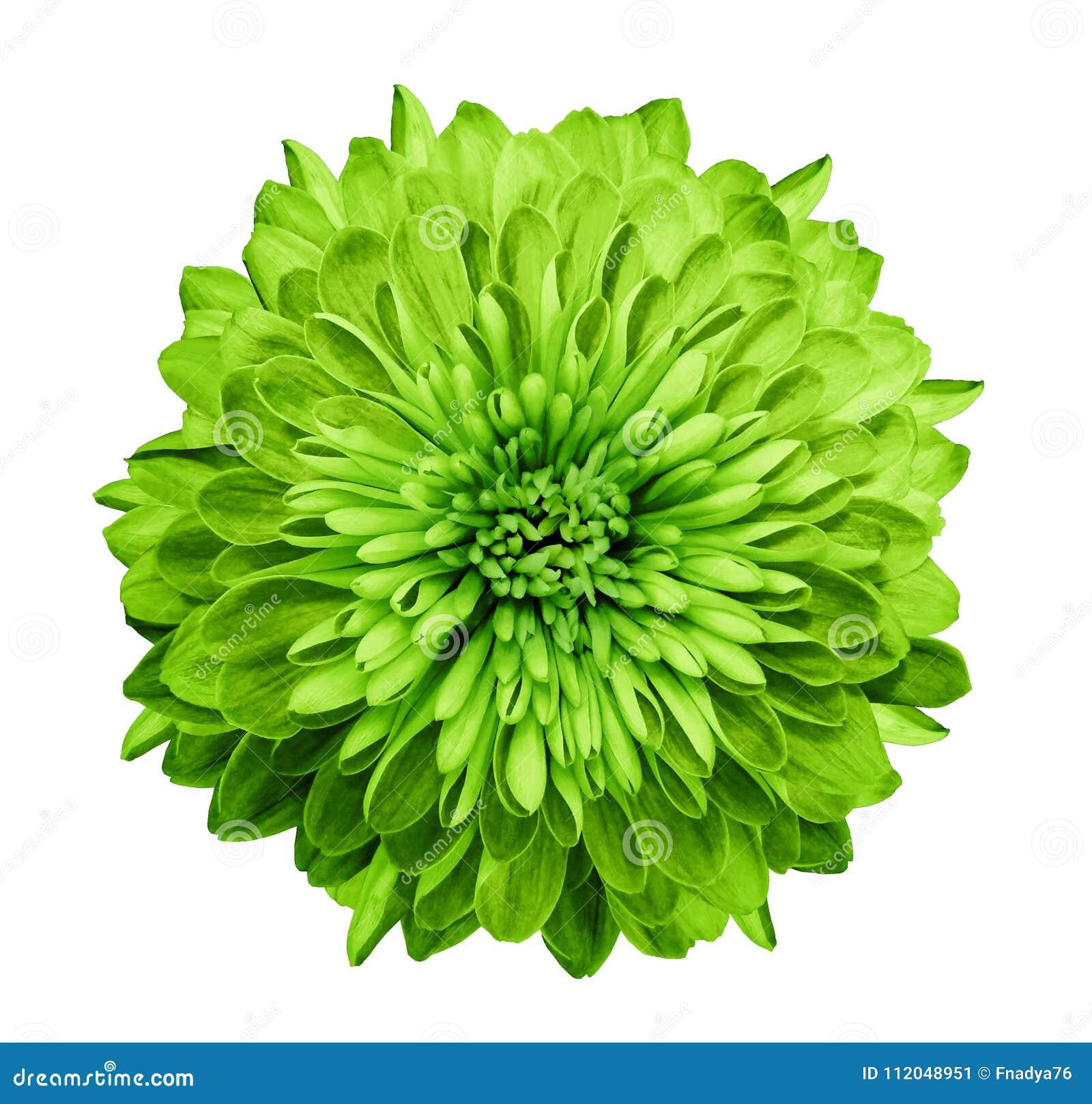 Verde del crisantemo Fiorisca su fondo bianco isolato con il percorso di ritaglio senza ombre Primo piano Per il disegno