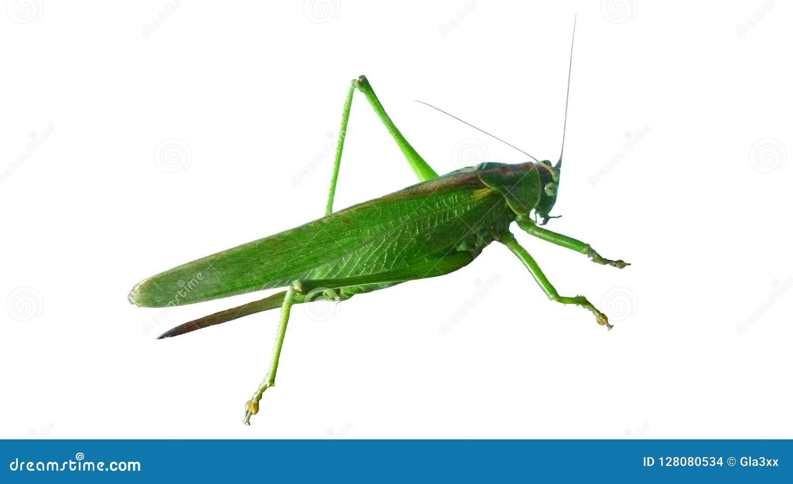 Verde della locusta grasshopper