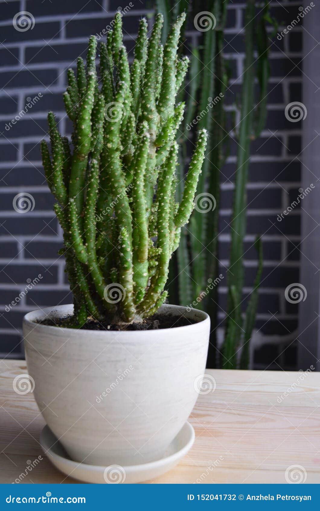 Verde do cacto e outras plantas carnudas