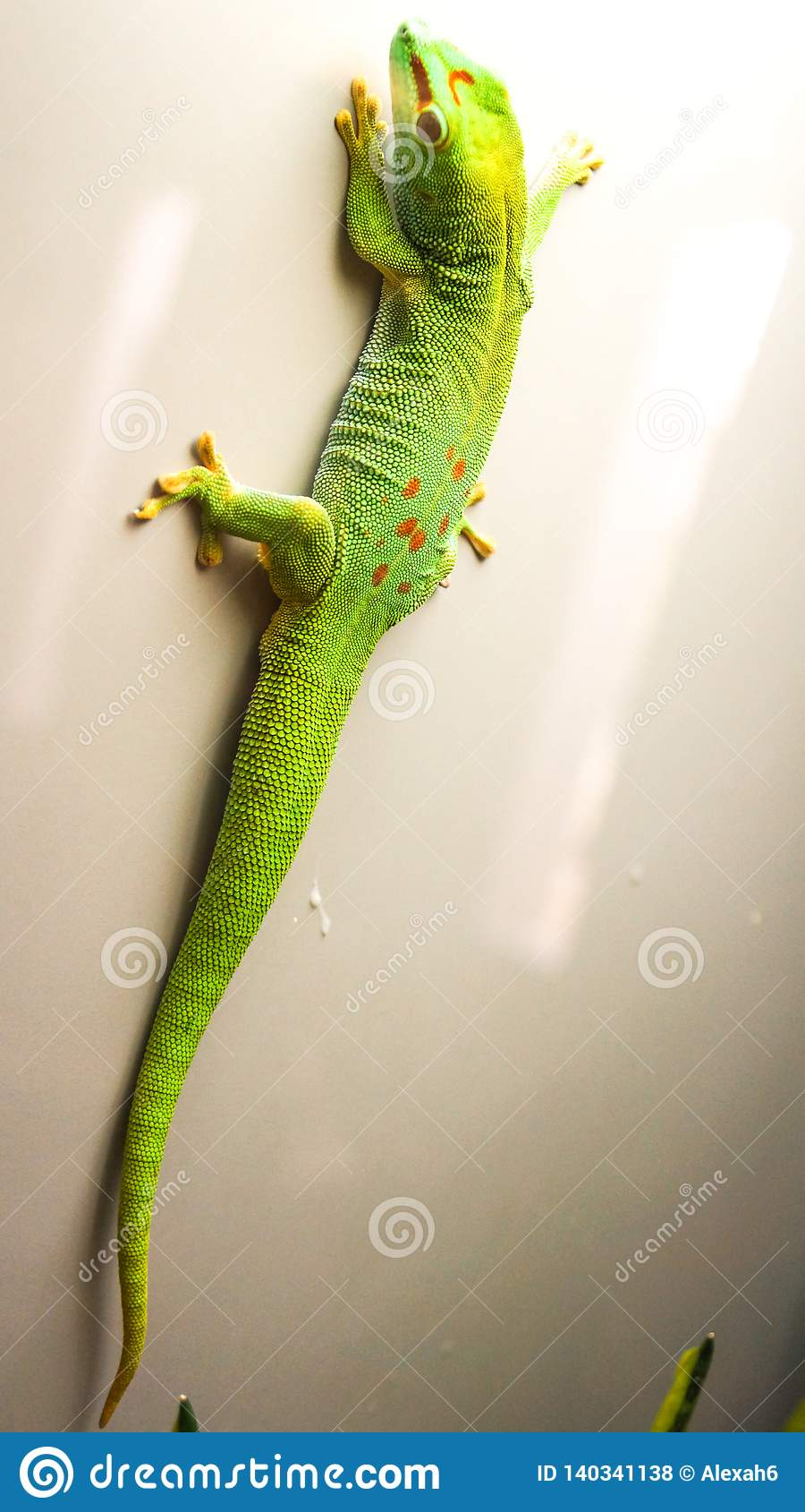 Verde do lagarto do anole de Caroline colorido escalando acima a parede